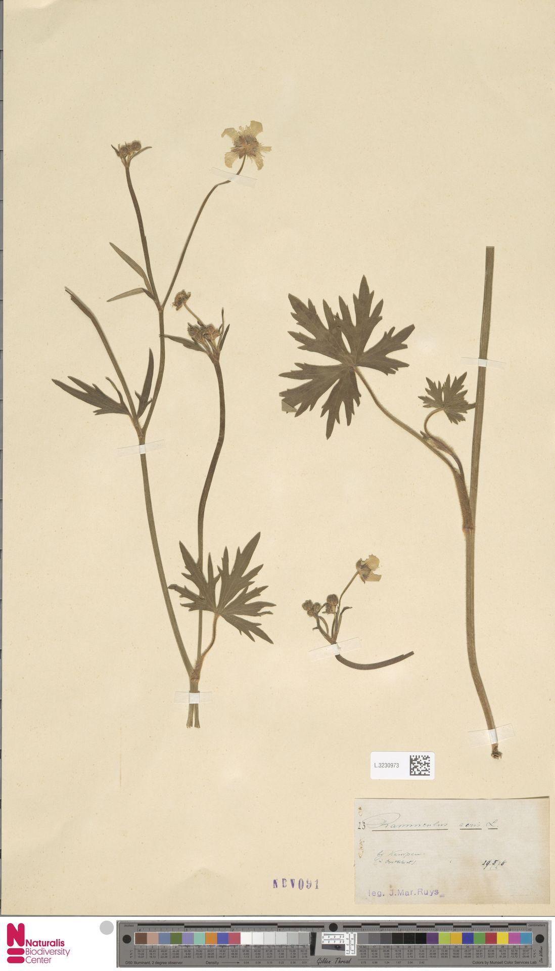 L.3230973   Ranunculus acris L.