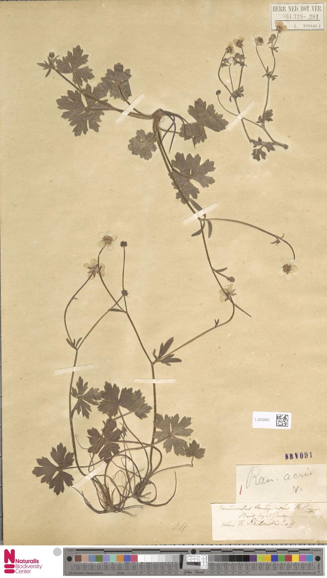 L.3230997 | Ranunculus acris L.