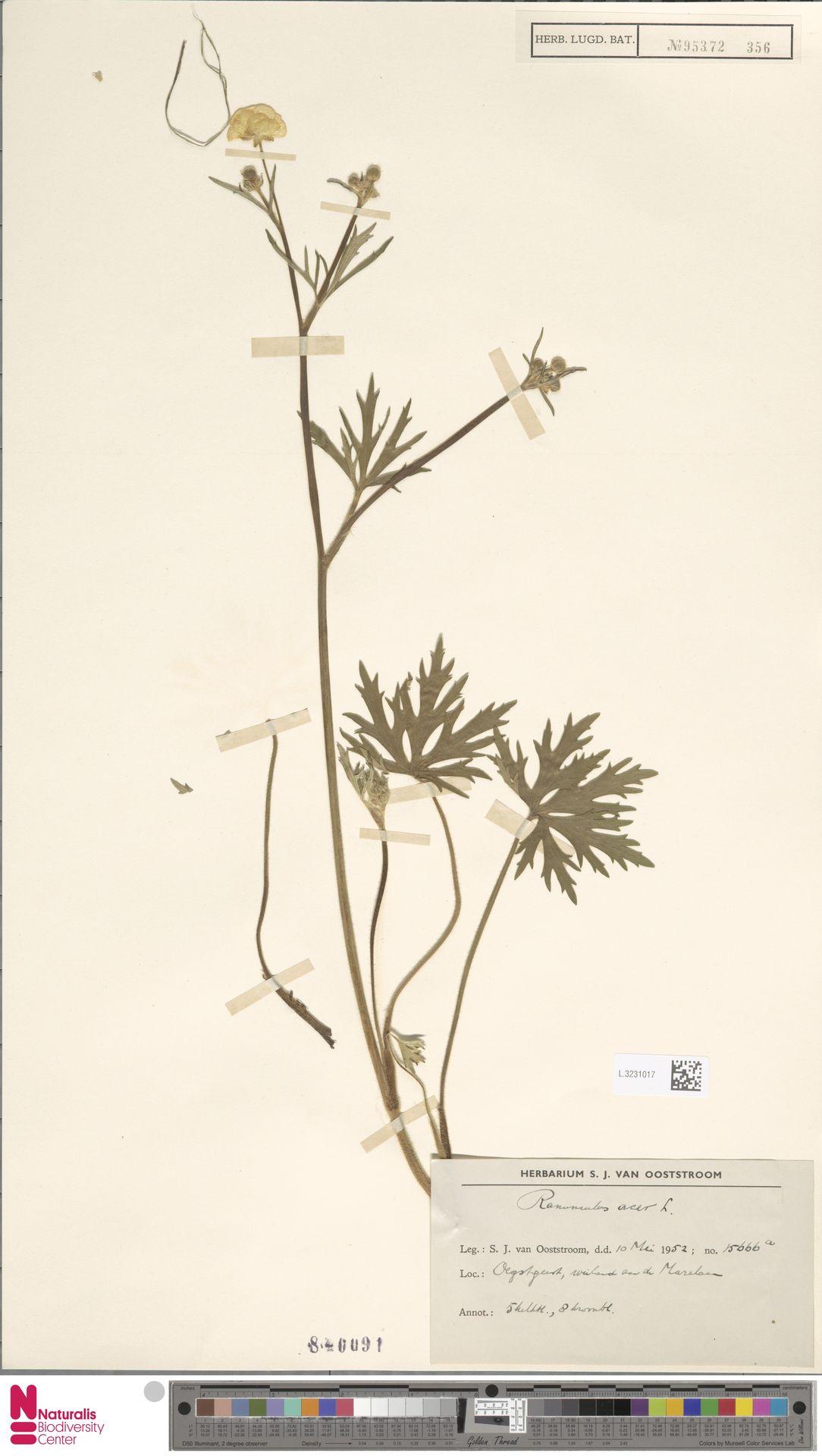 L.3231017   Ranunculus acris L.