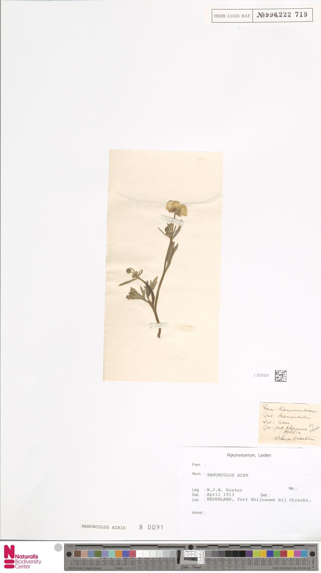 L.3231020 | Ranunculus acris L.