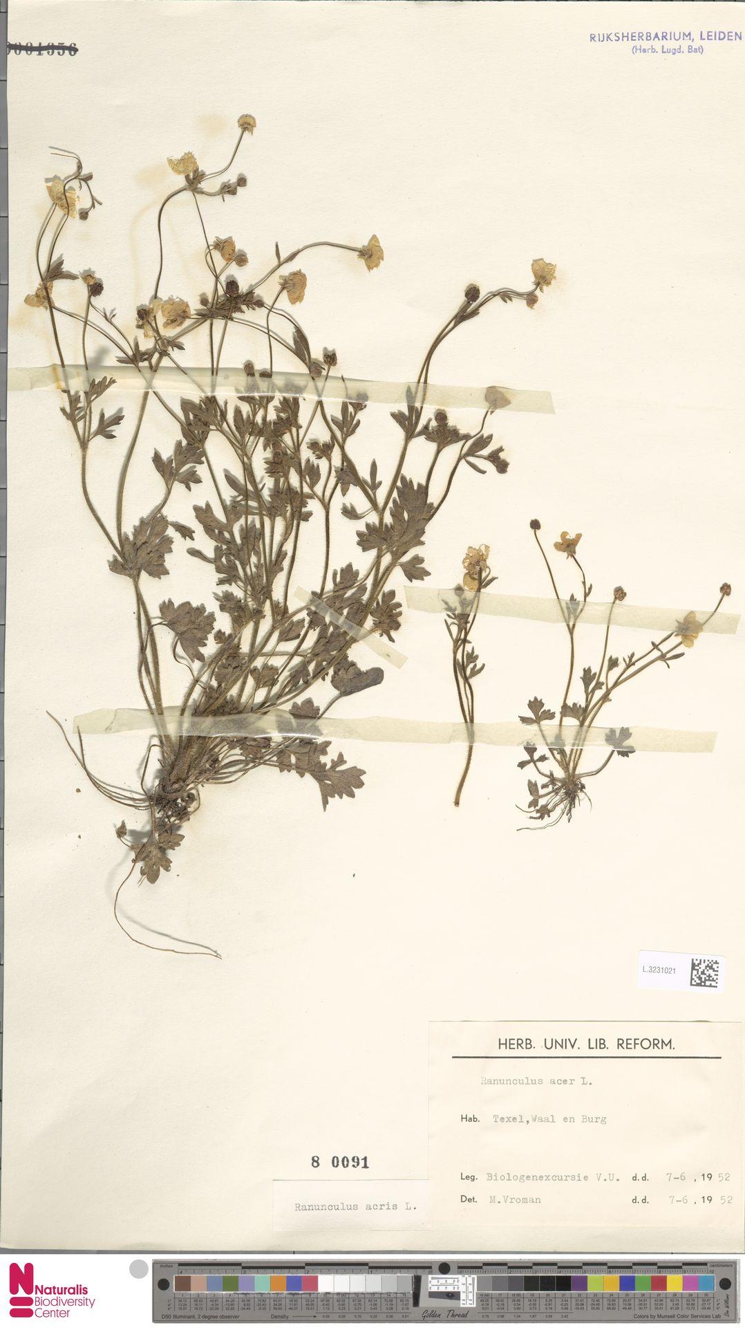 L.3231021 | Ranunculus acris L.