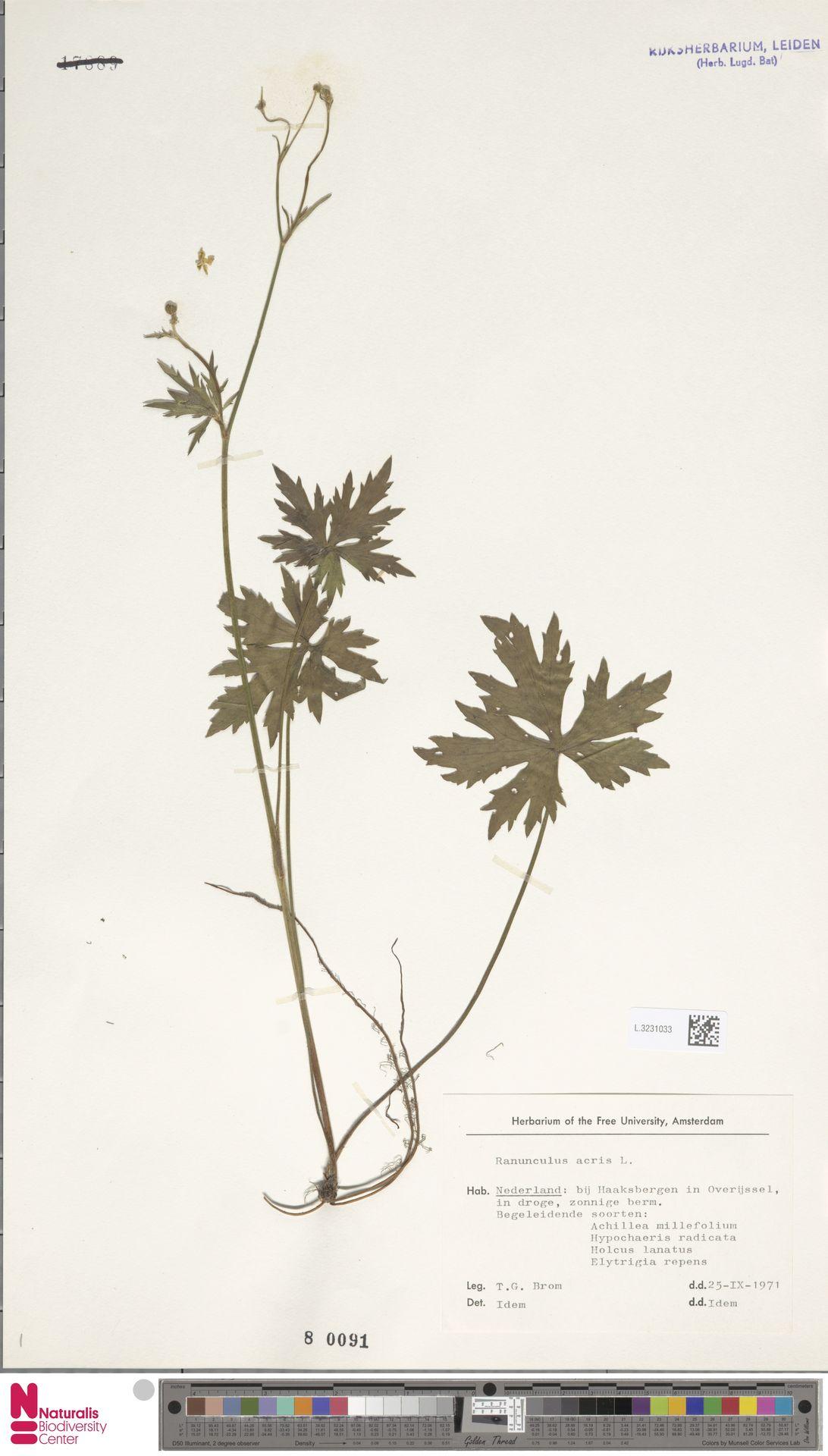 L.3231033   Ranunculus acris L.