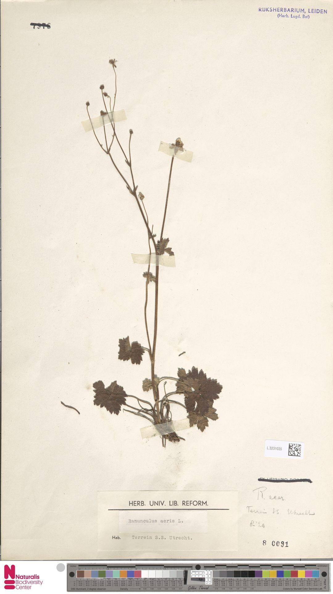 L.3231035   Ranunculus acris L.