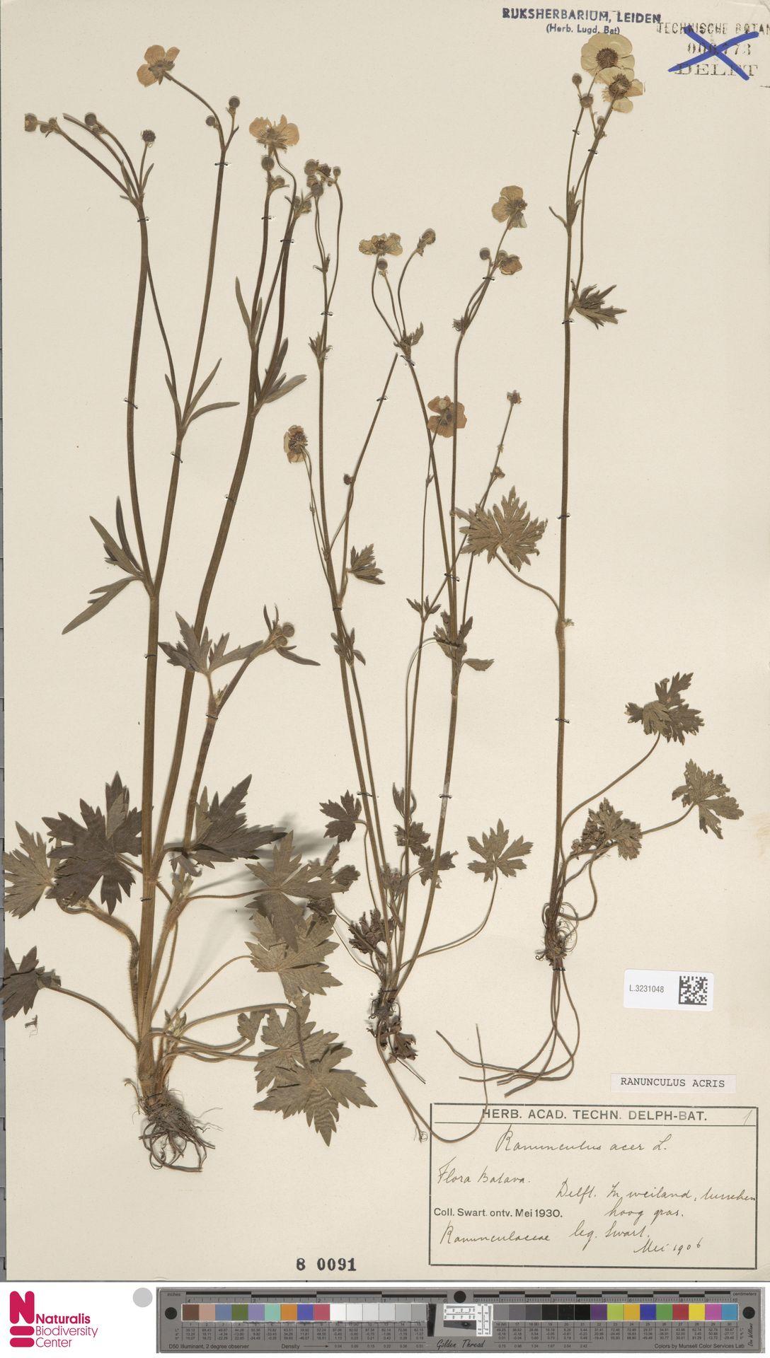 L.3231048 | Ranunculus acris L.