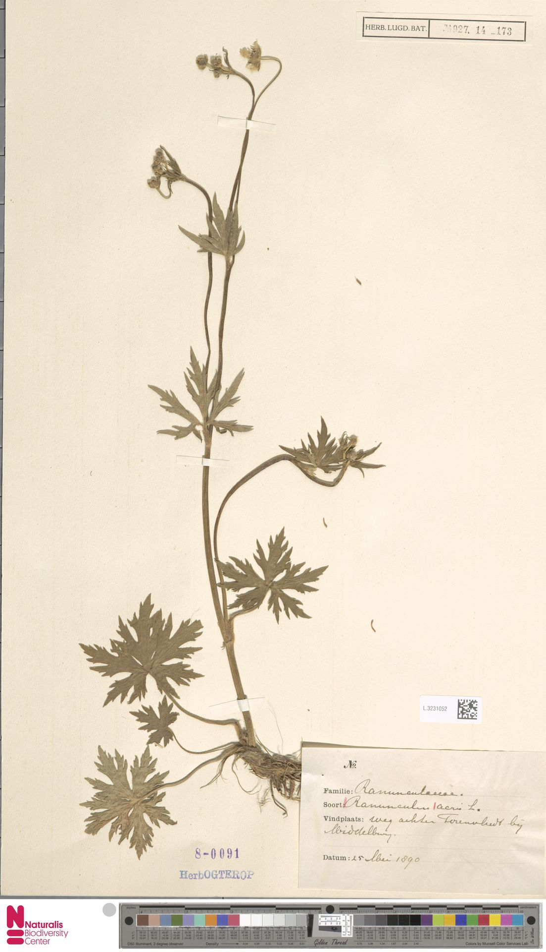 L.3231052   Ranunculus acris L.
