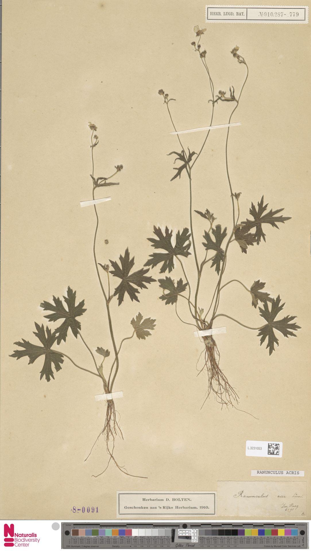 L.3231053   Ranunculus acris L.