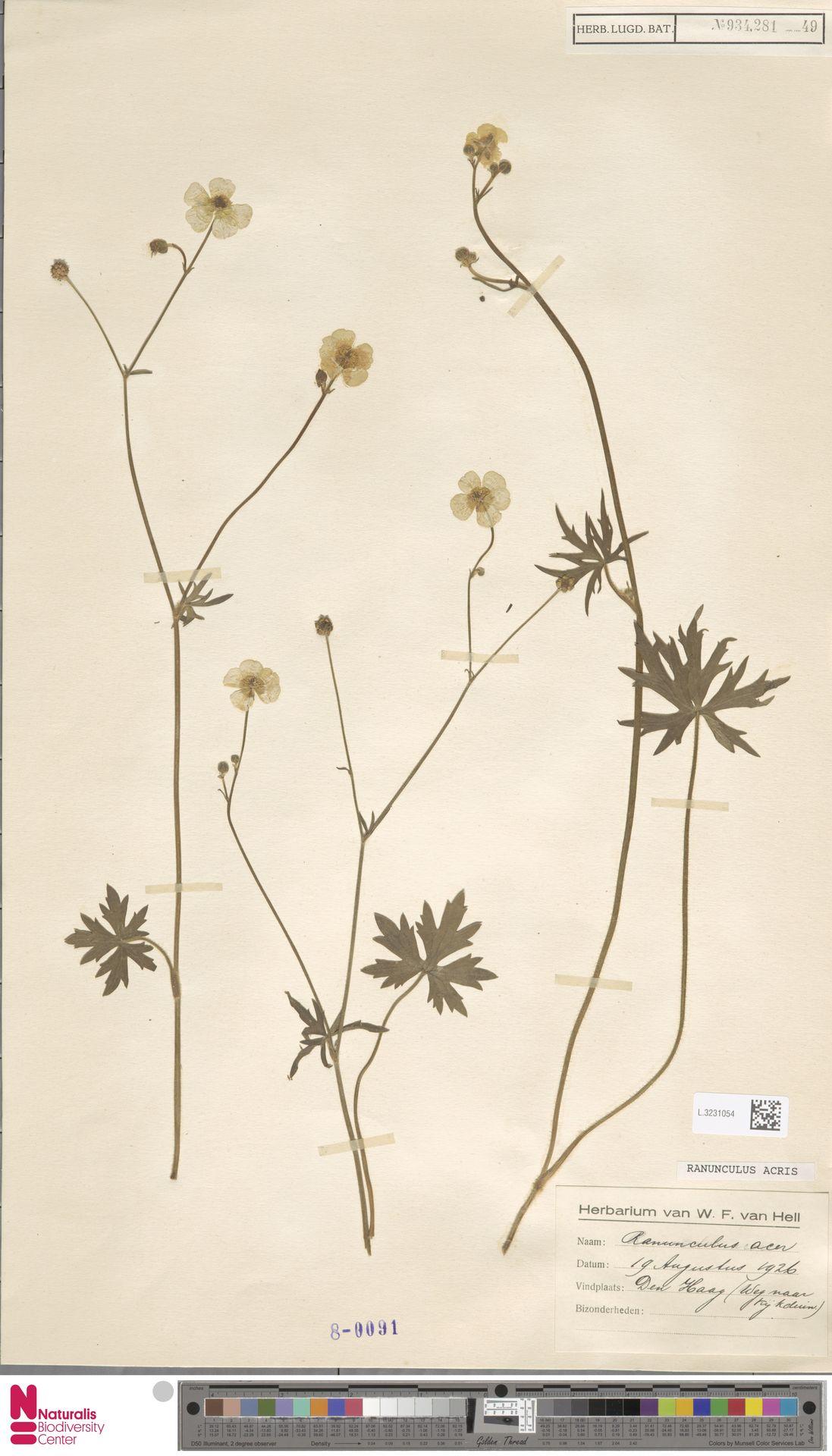 L.3231054   Ranunculus acris L.