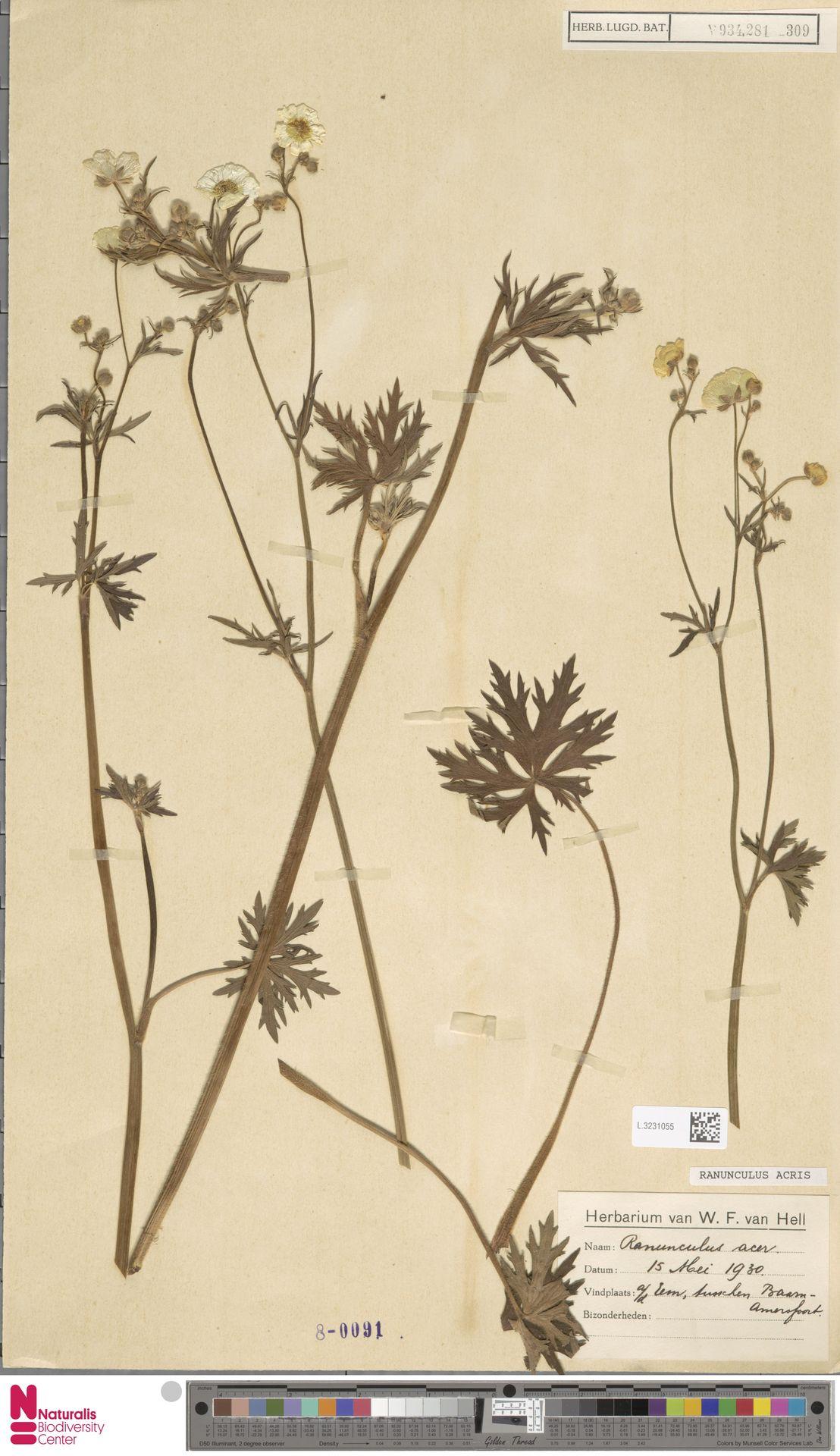 L.3231055 | Ranunculus acris L.
