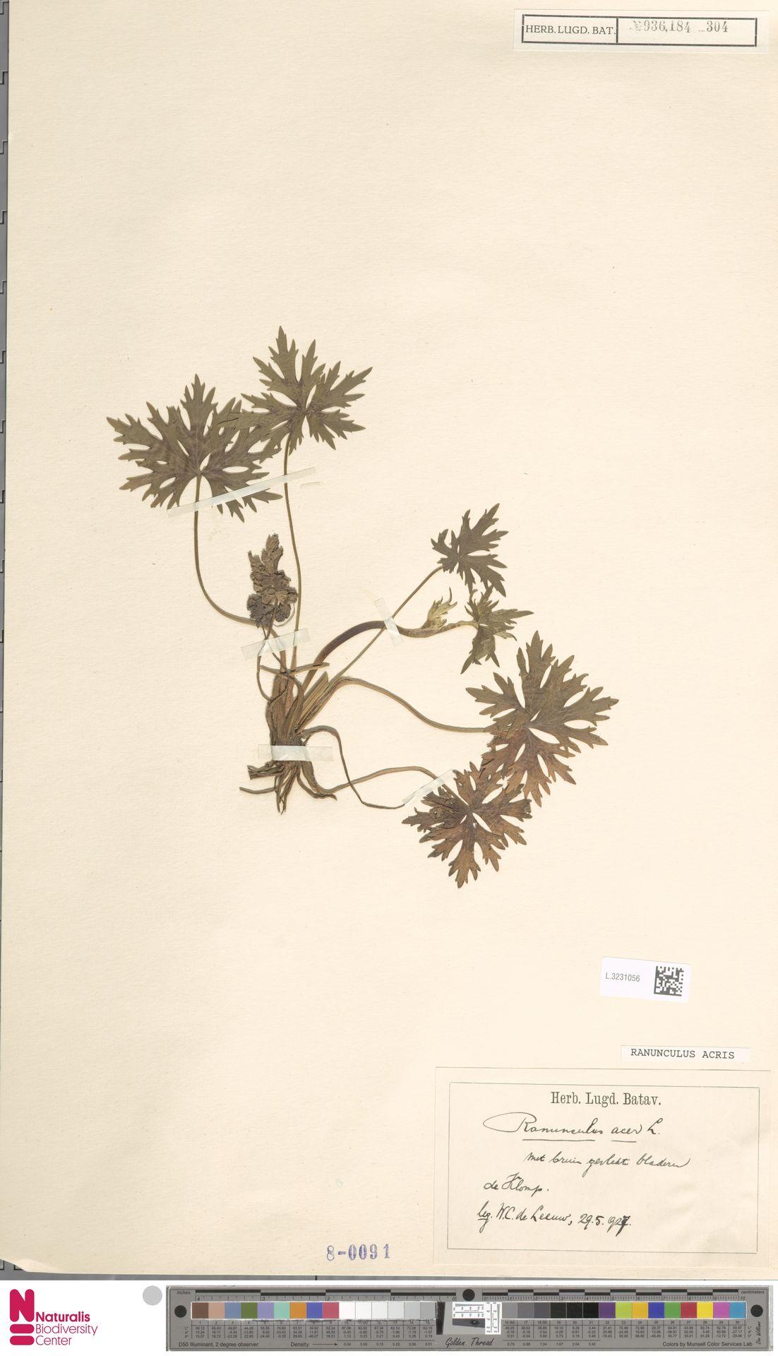 L.3231056 | Ranunculus acris L.