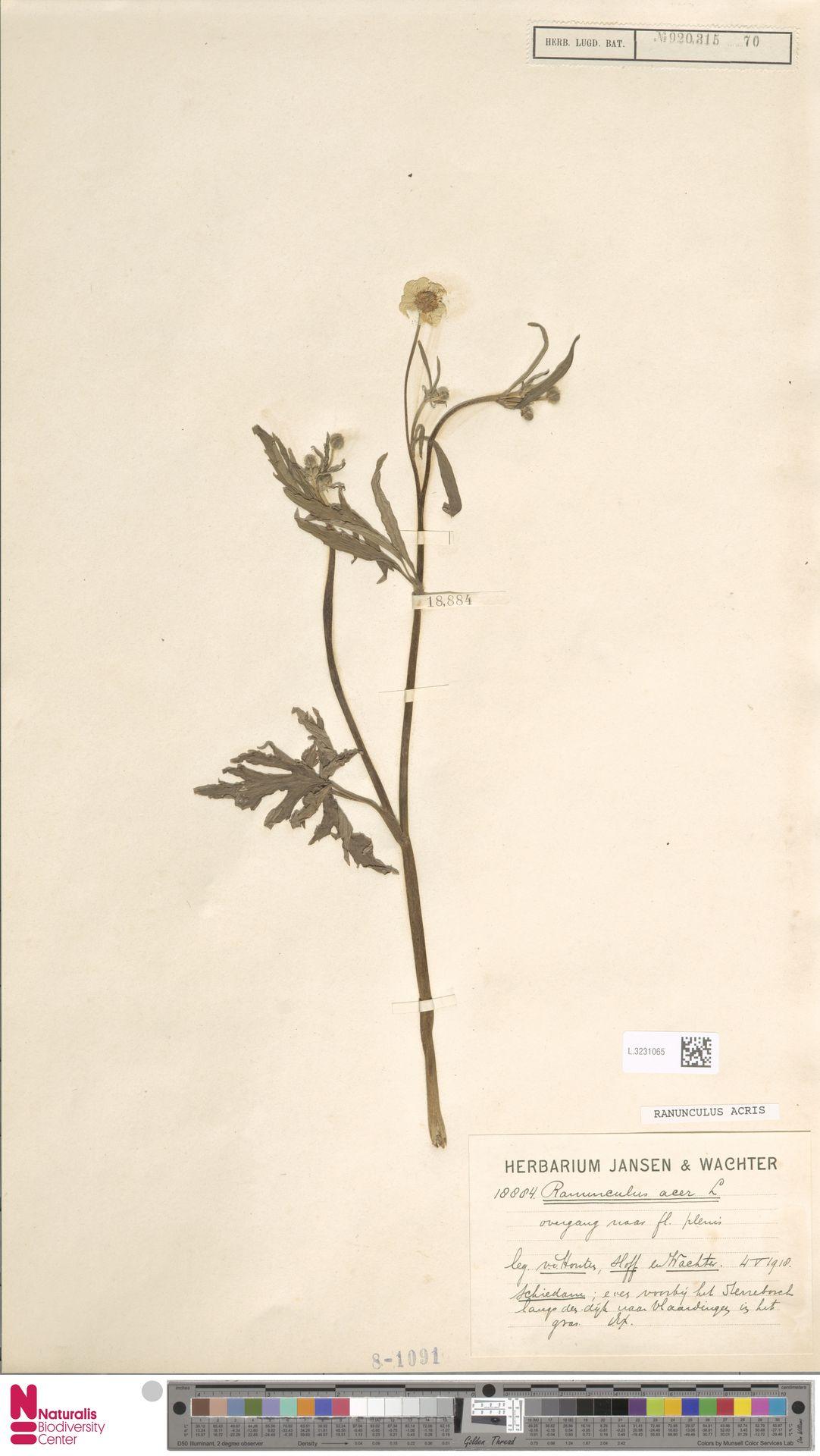 L.3231065 | Ranunculus acris L.