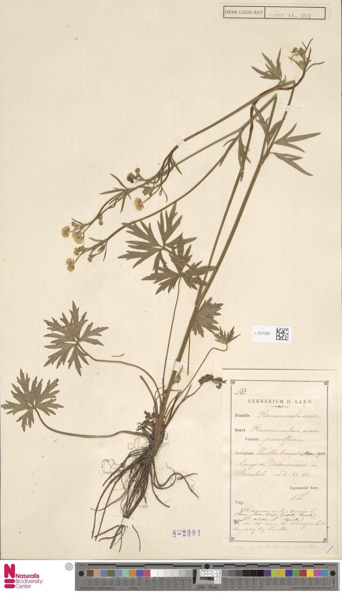 L.3231069 | Ranunculus acris L.