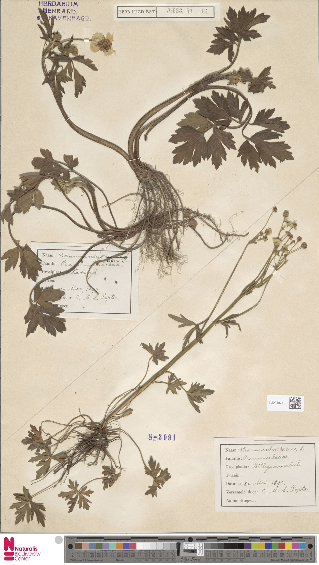 L.3231077   Ranunculus acris L.