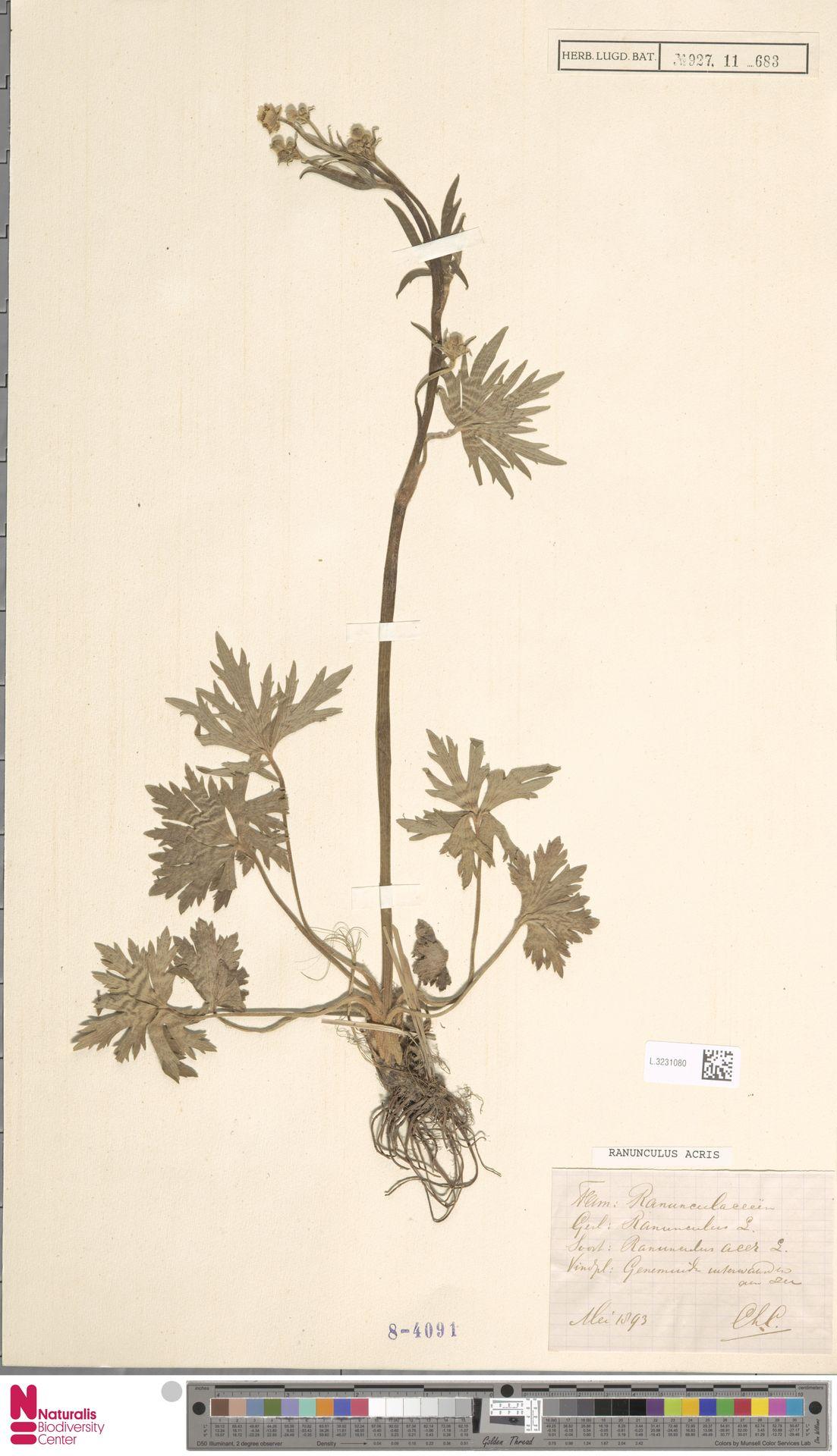 L.3231080   Ranunculus acris L.