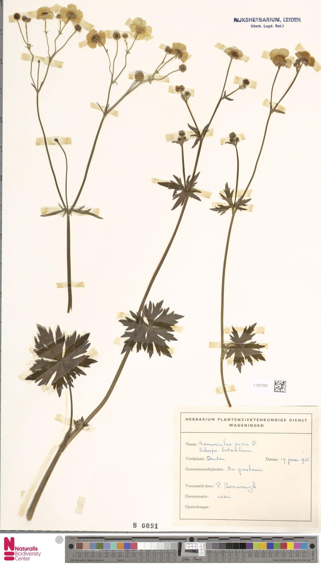 L.3231097   Ranunculus acris L.