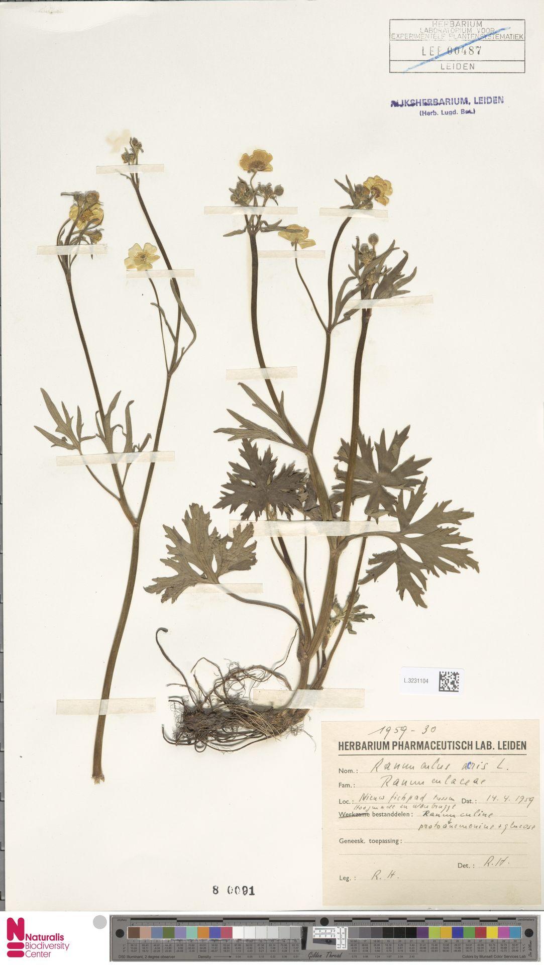 L.3231104 | Ranunculus acris L.