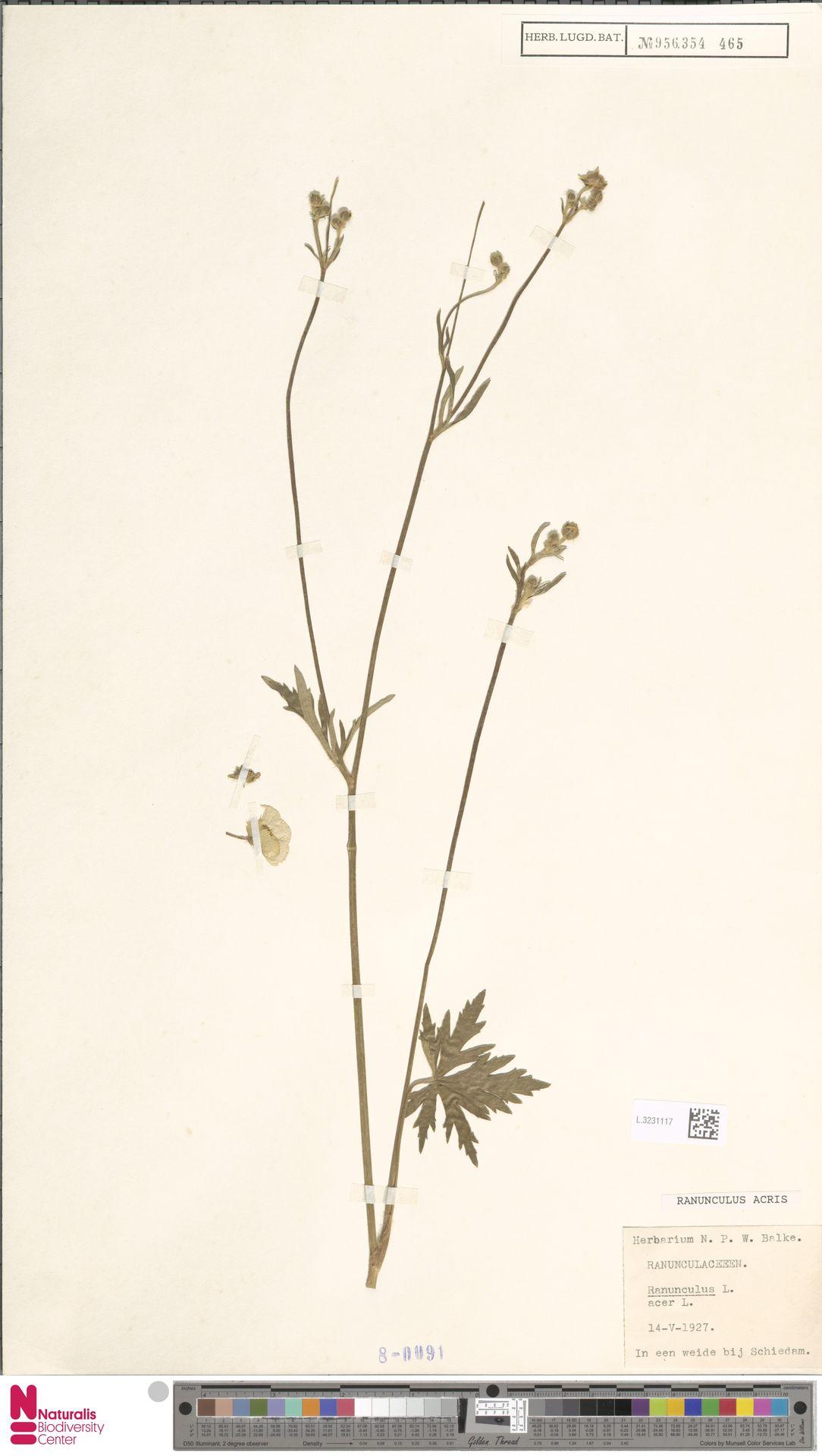 L.3231117   Ranunculus acris L.