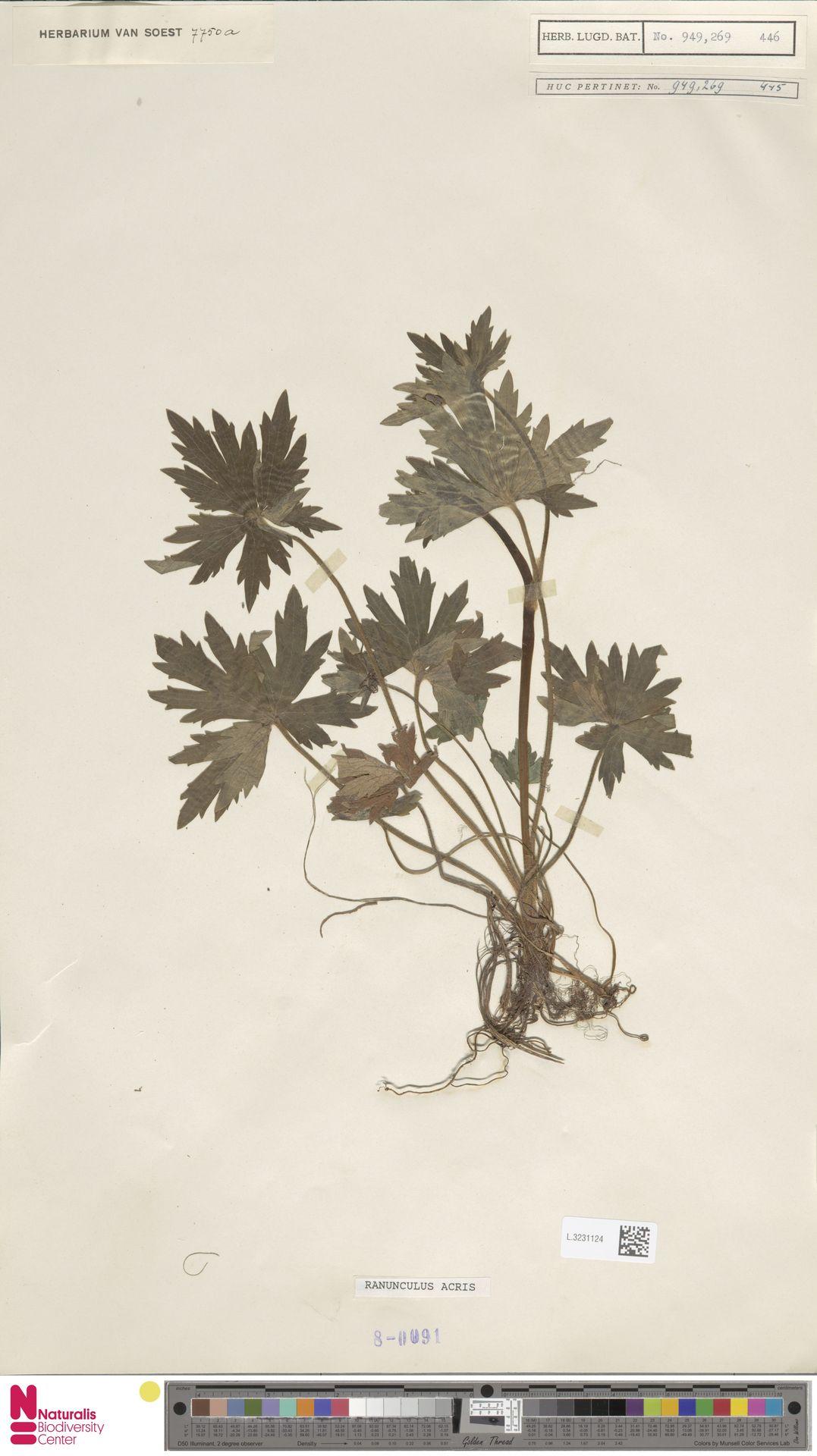 L.3231124 | Ranunculus acris L.