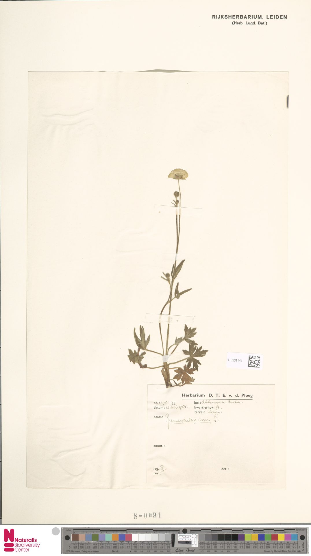 L.3231144 | Ranunculus acris L.