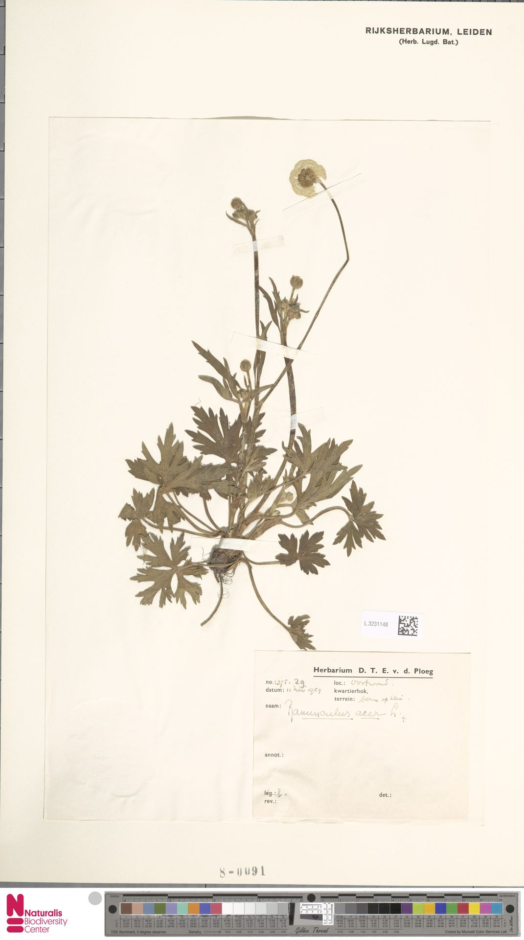 L.3231148 | Ranunculus acris L.