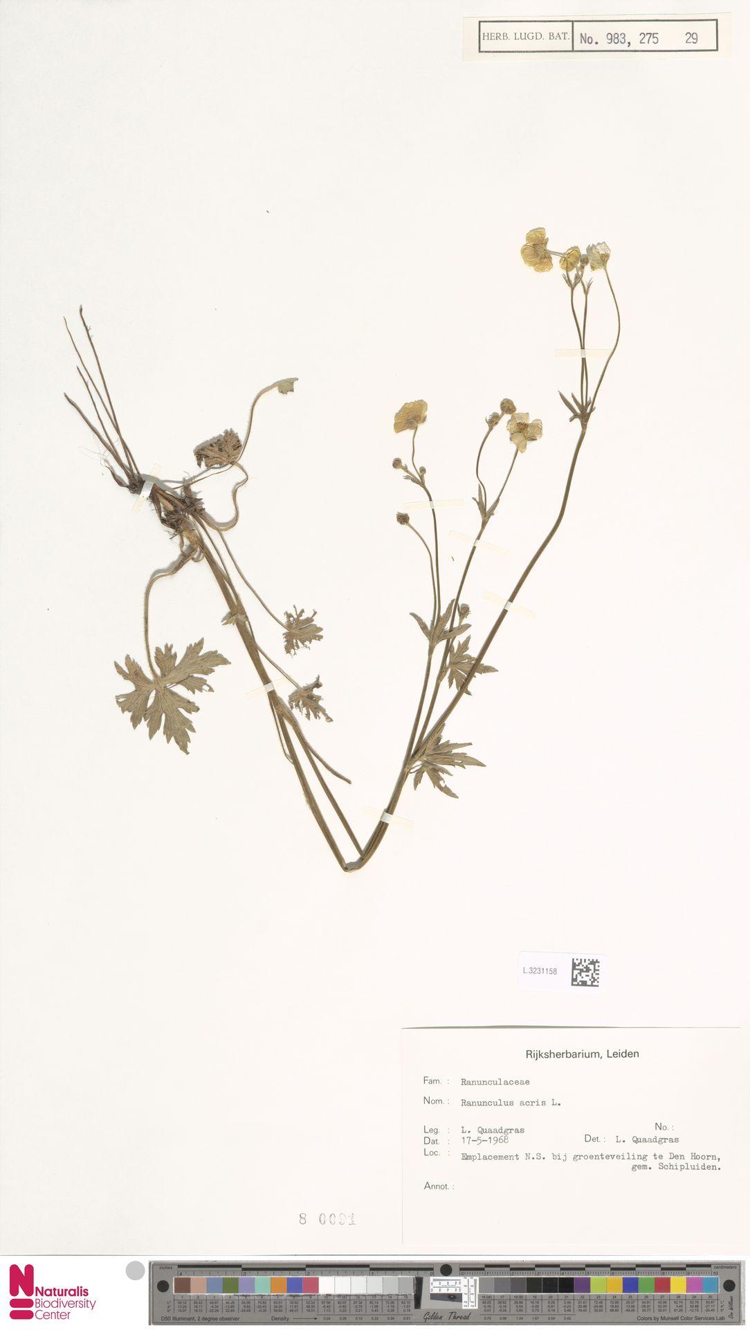 L.3231158 | Ranunculus acris L.