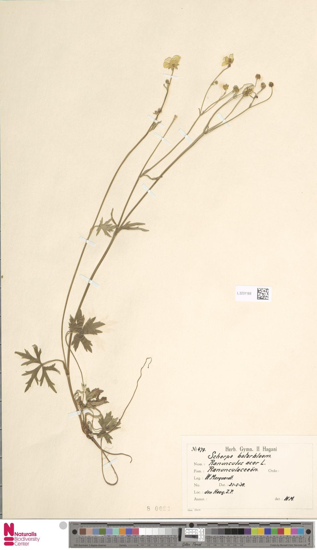 L.3231169 | Ranunculus acris L.
