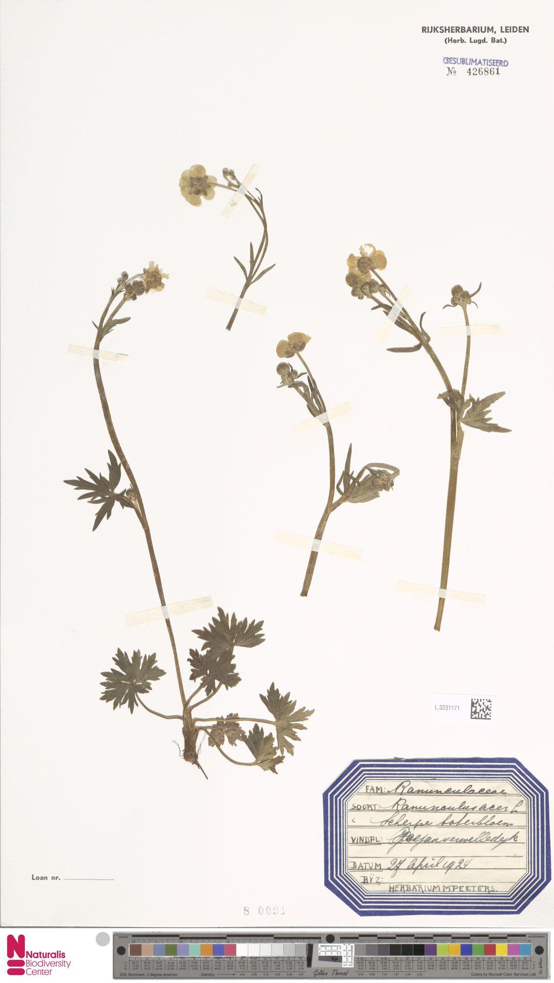 L.3231171   Ranunculus acris L.