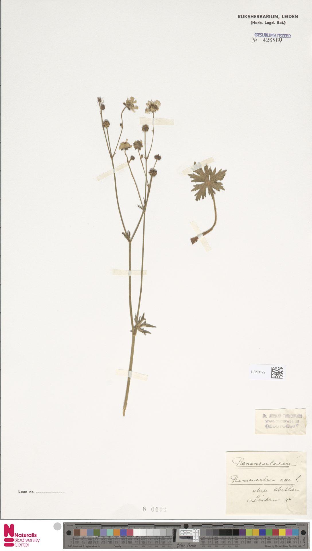 L.3231172 | Ranunculus acris L.
