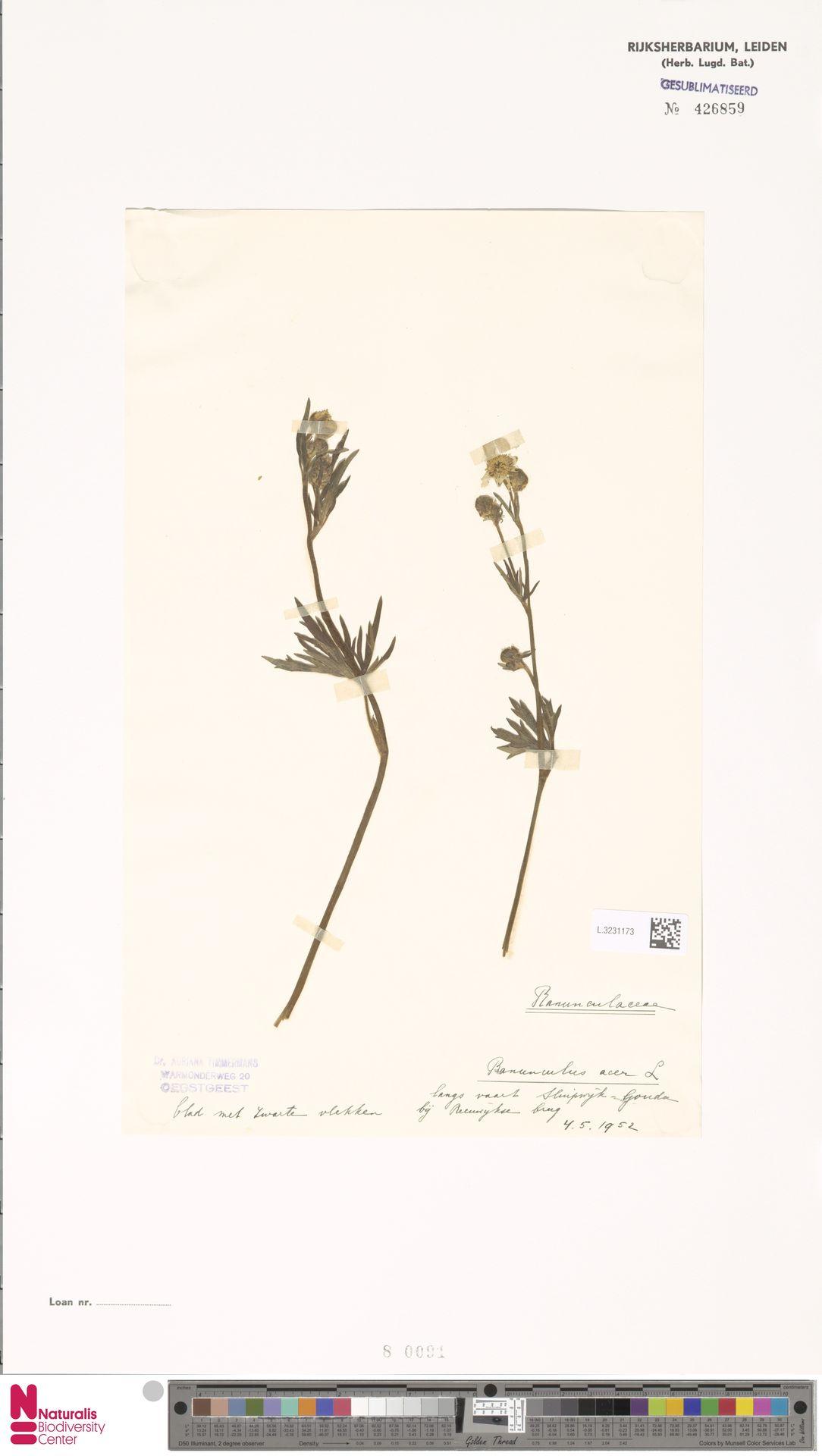 L.3231173   Ranunculus acris L.