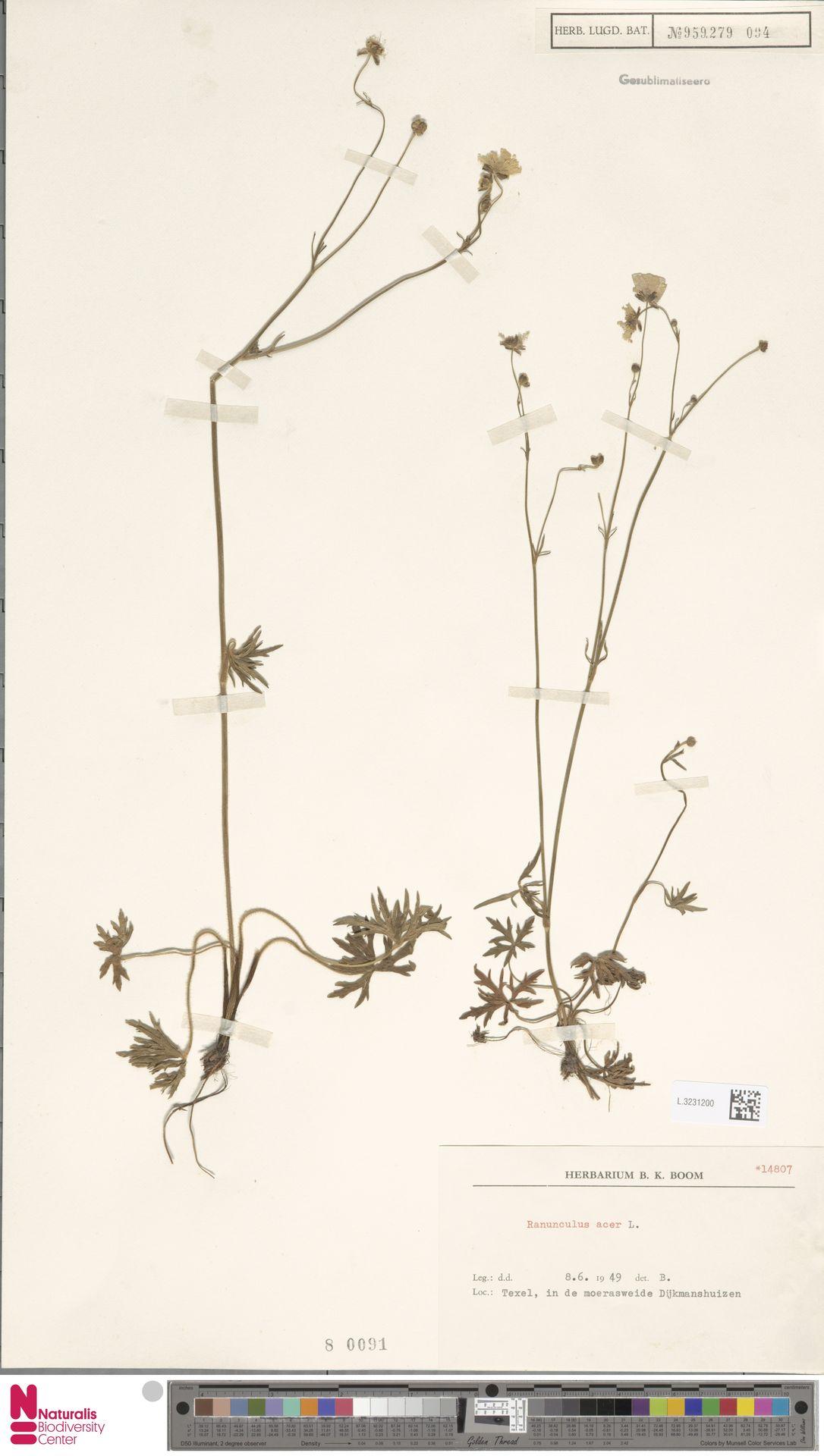 L.3231200   Ranunculus acris L.