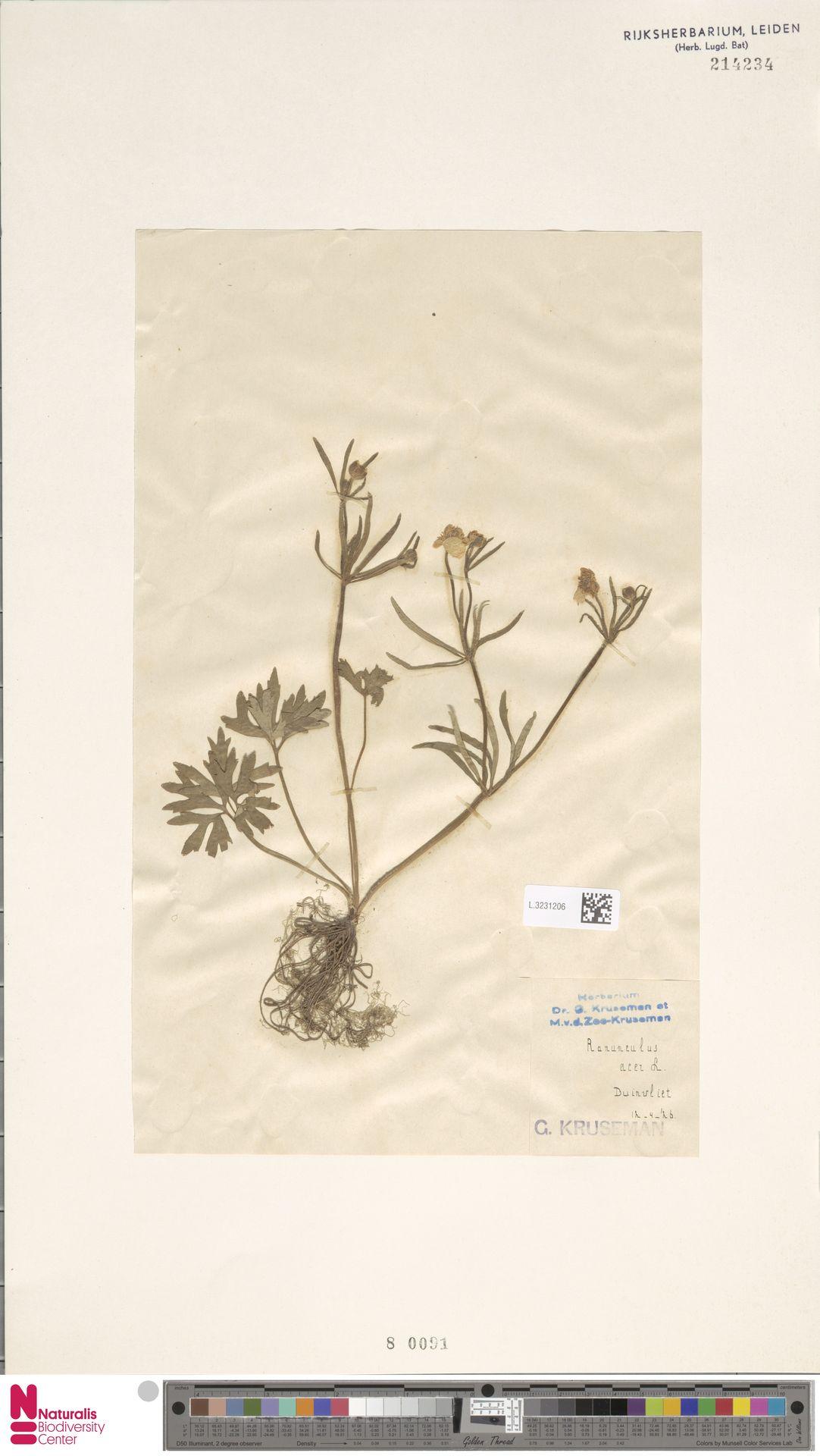 L.3231206 | Ranunculus acris L.