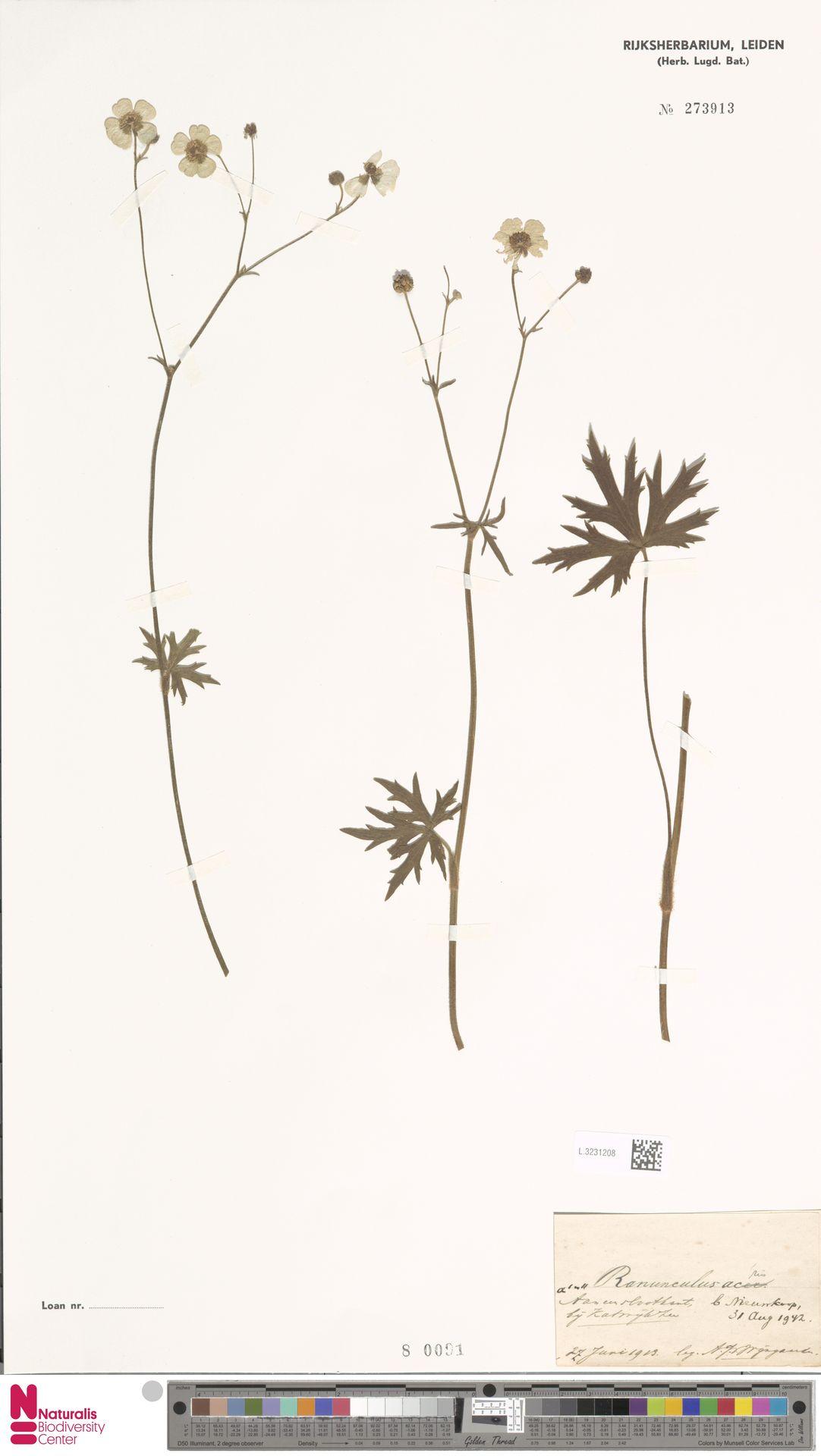 L.3231208   Ranunculus acris L.