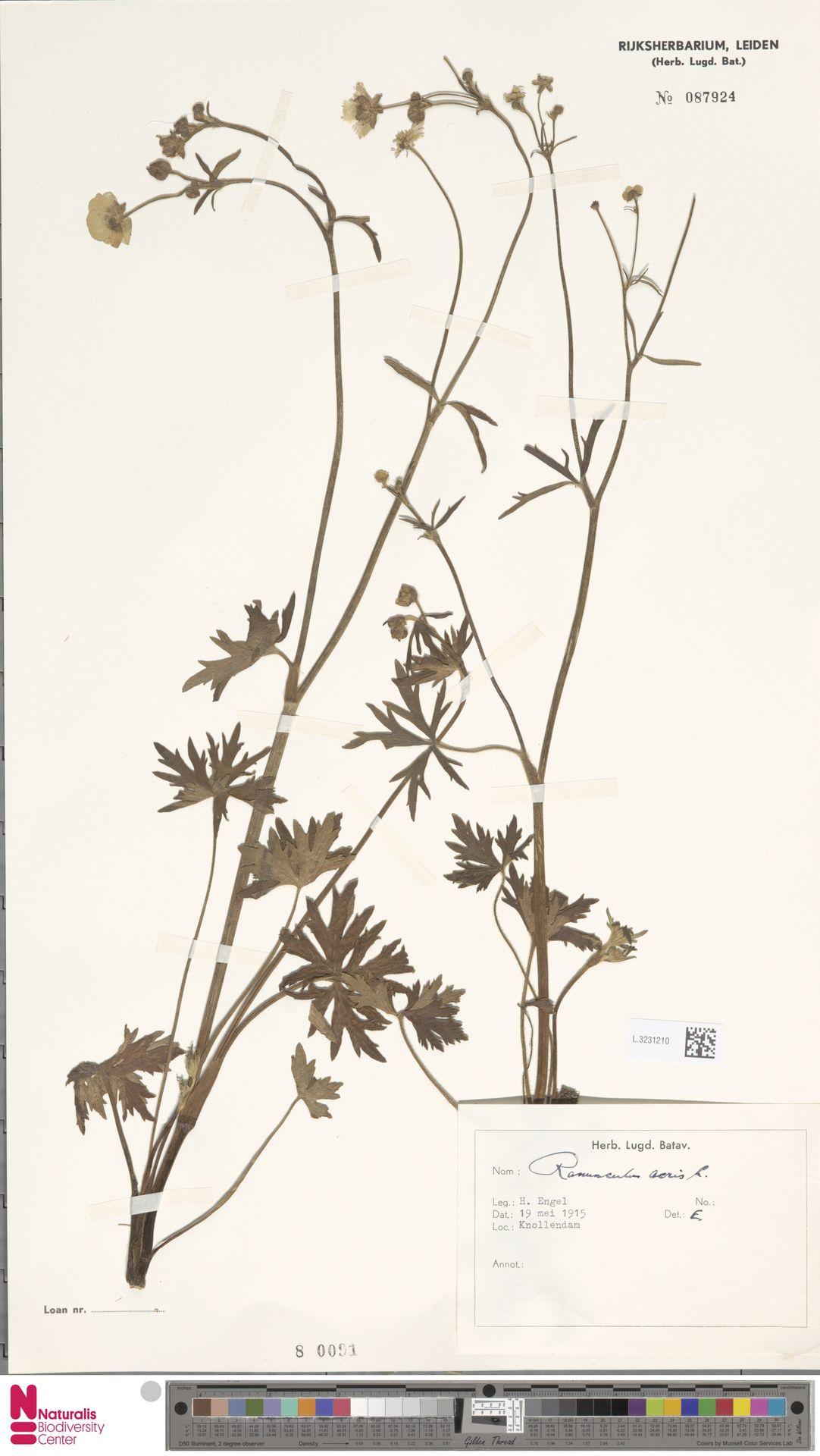 L.3231210 | Ranunculus acris L.