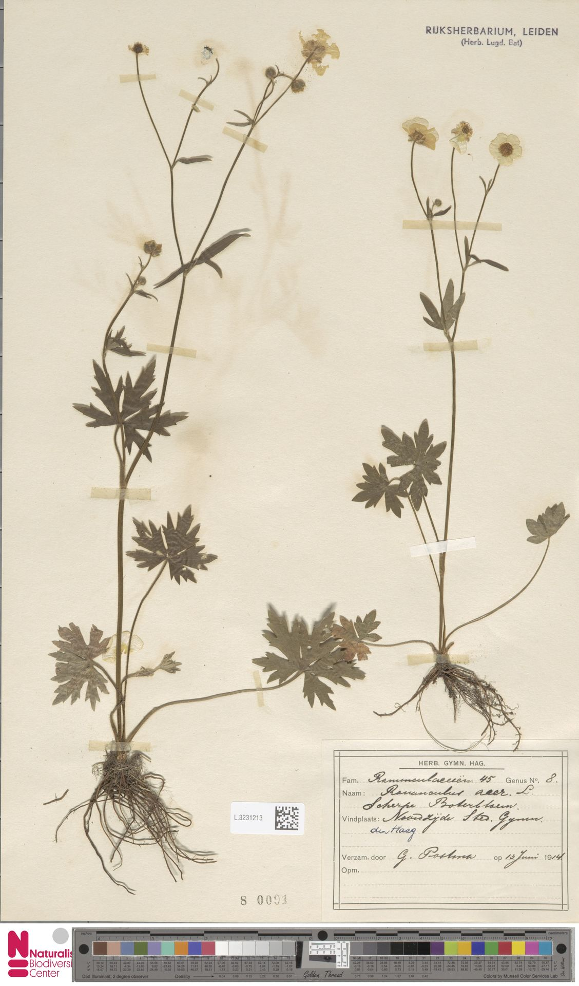 L.3231213   Ranunculus acris L.