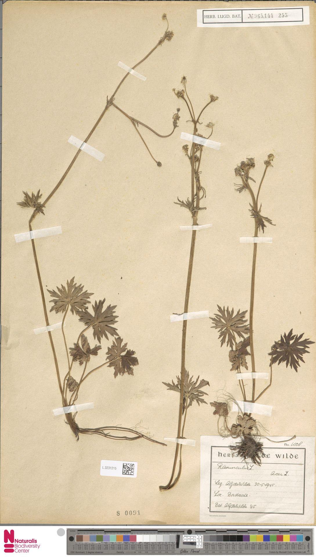 L.3231215 | Ranunculus acris L.