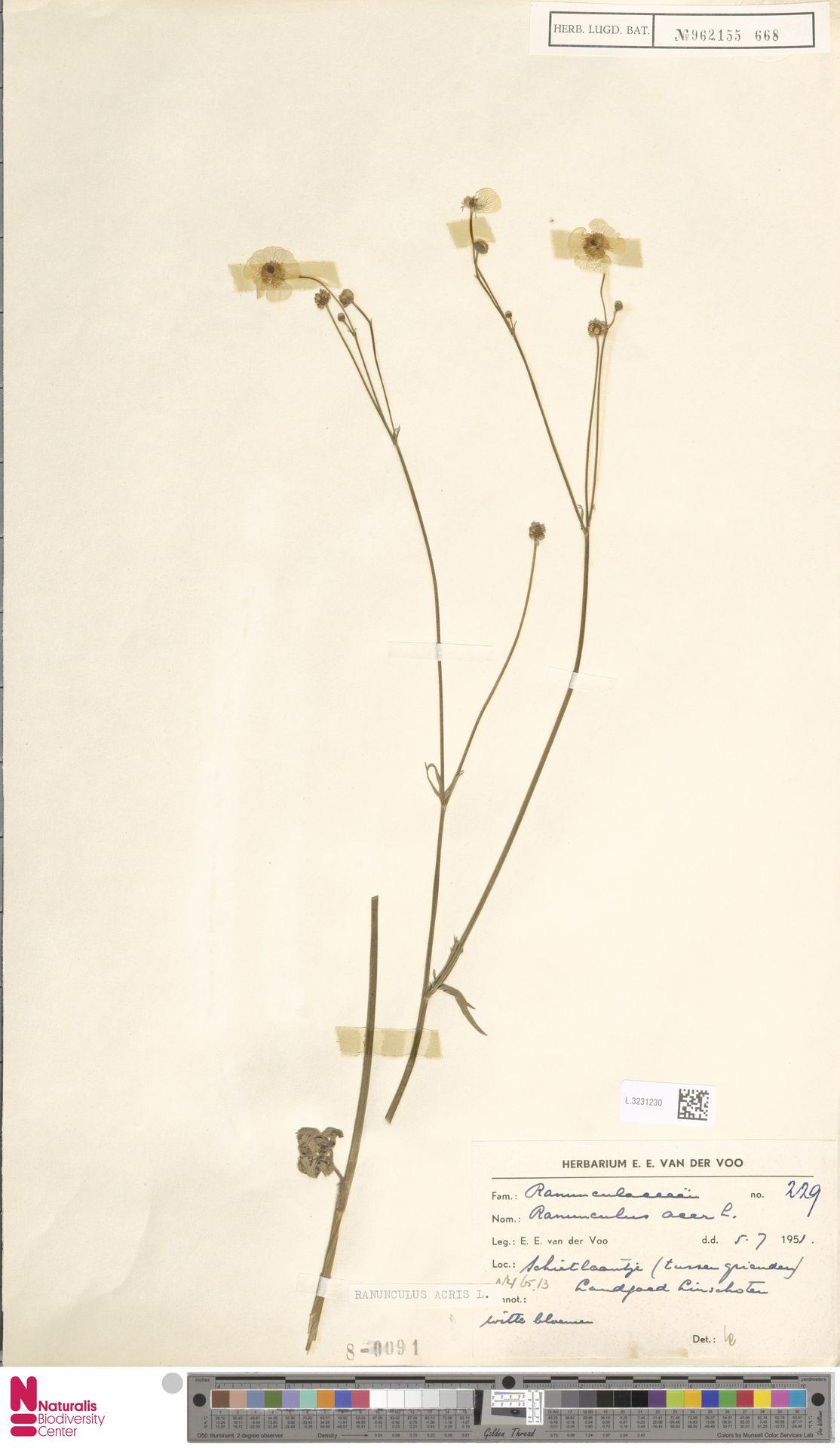 L.3231230   Ranunculus acris L.