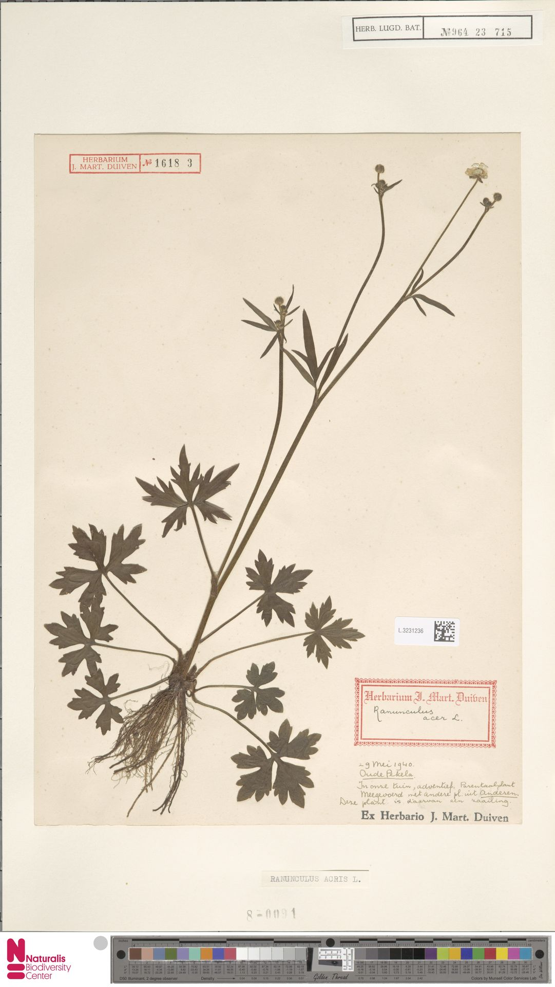 L.3231236   Ranunculus acris L.