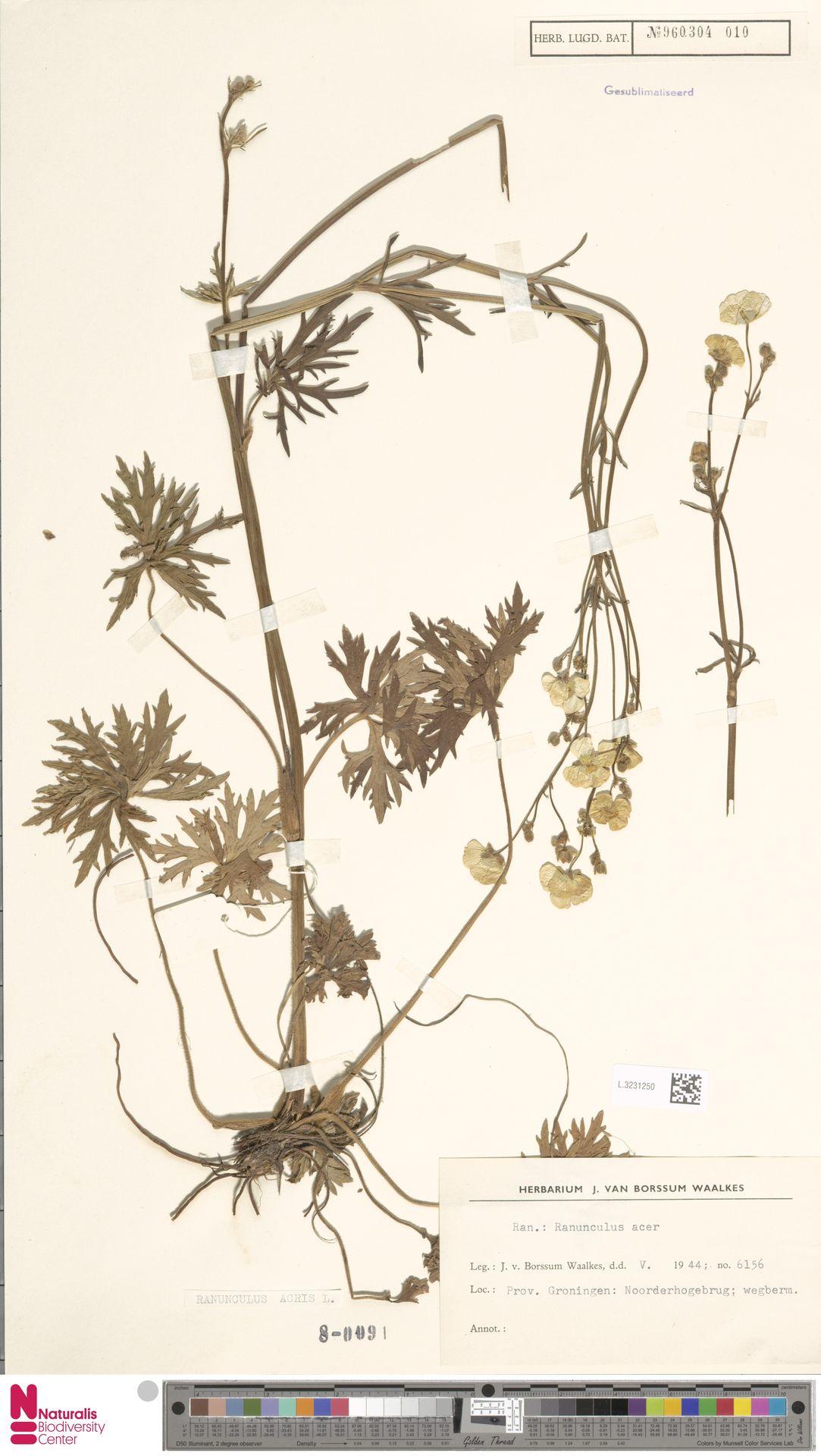 L.3231250   Ranunculus acris L.