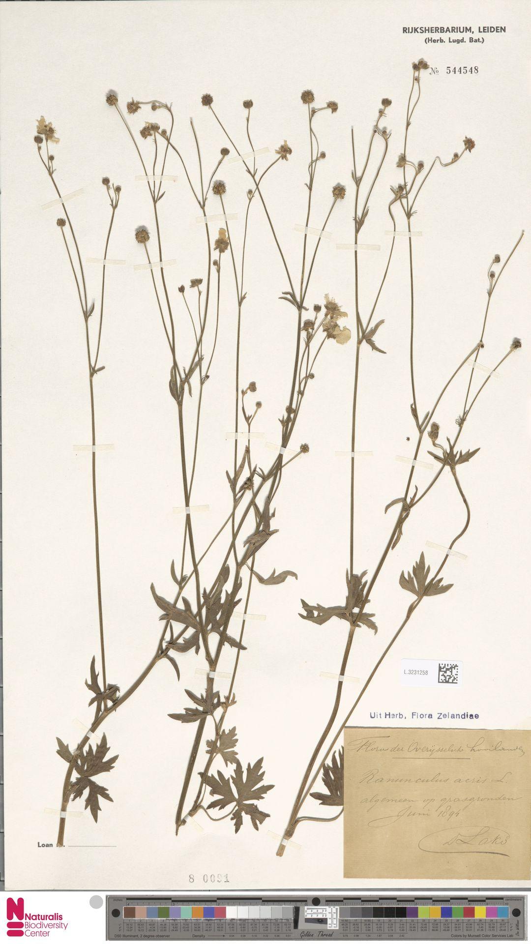 L.3231258 | Ranunculus acris L.