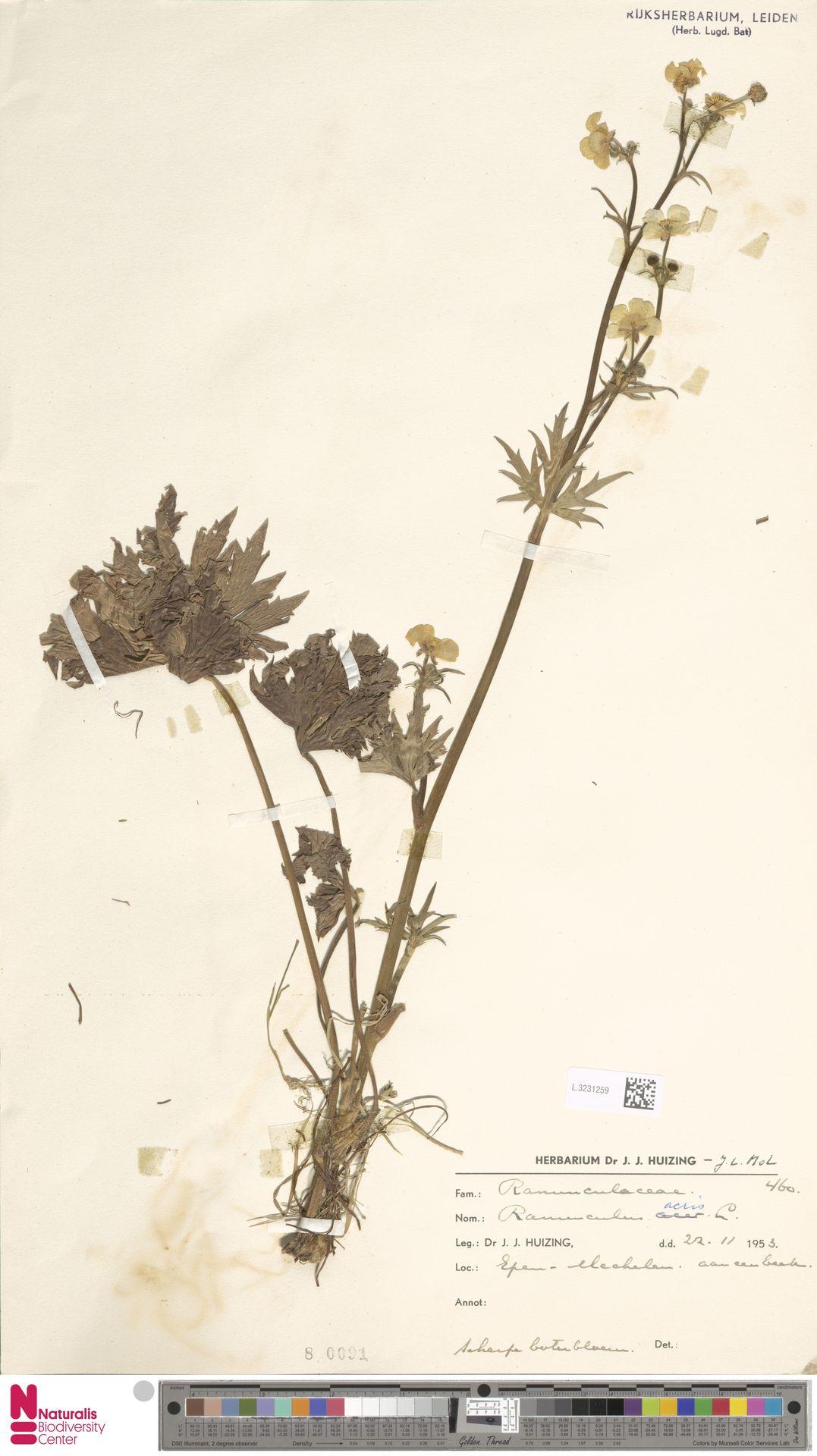 L.3231259 | Ranunculus acris L.