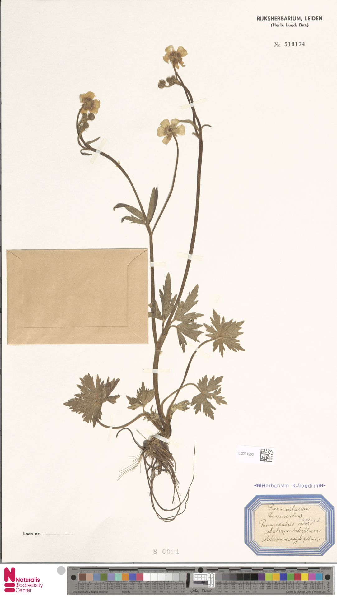 L.3231260   Ranunculus acris L.