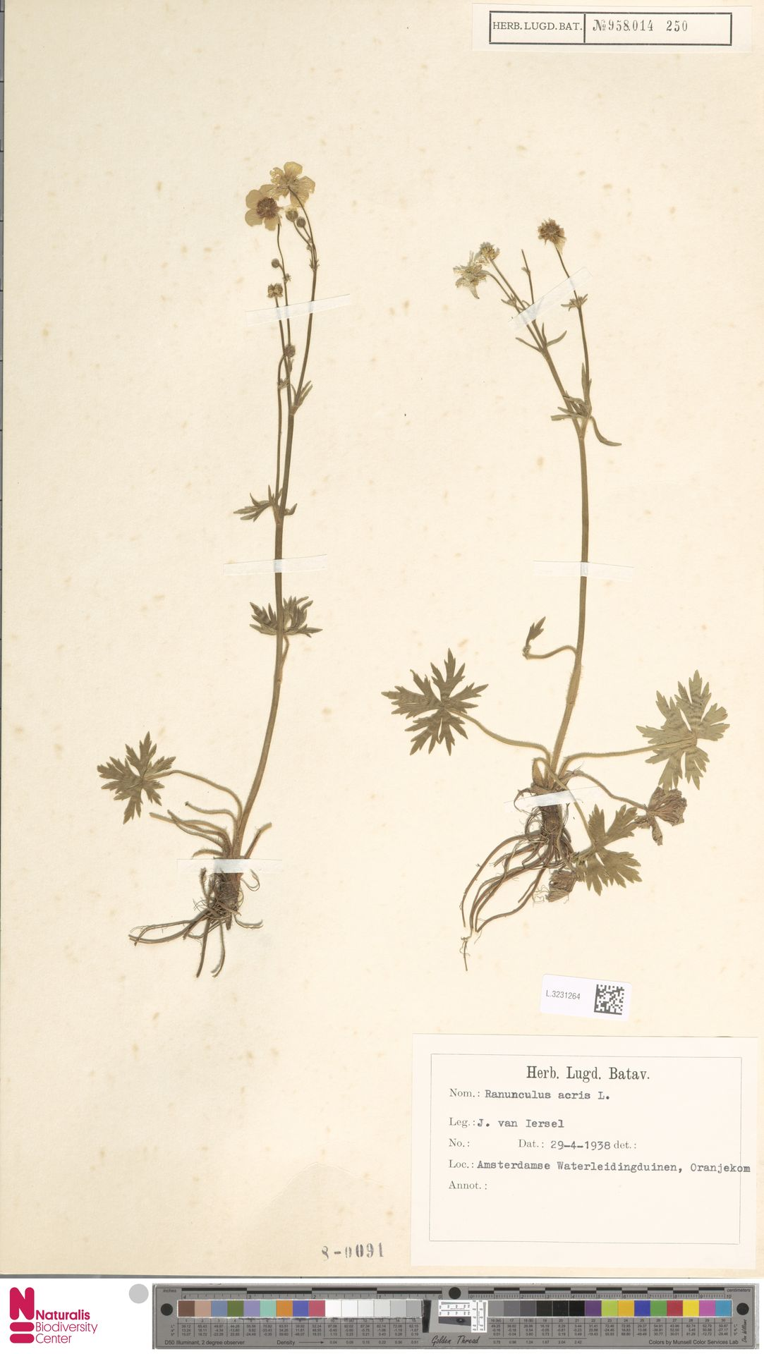 L.3231264 | Ranunculus acris L.