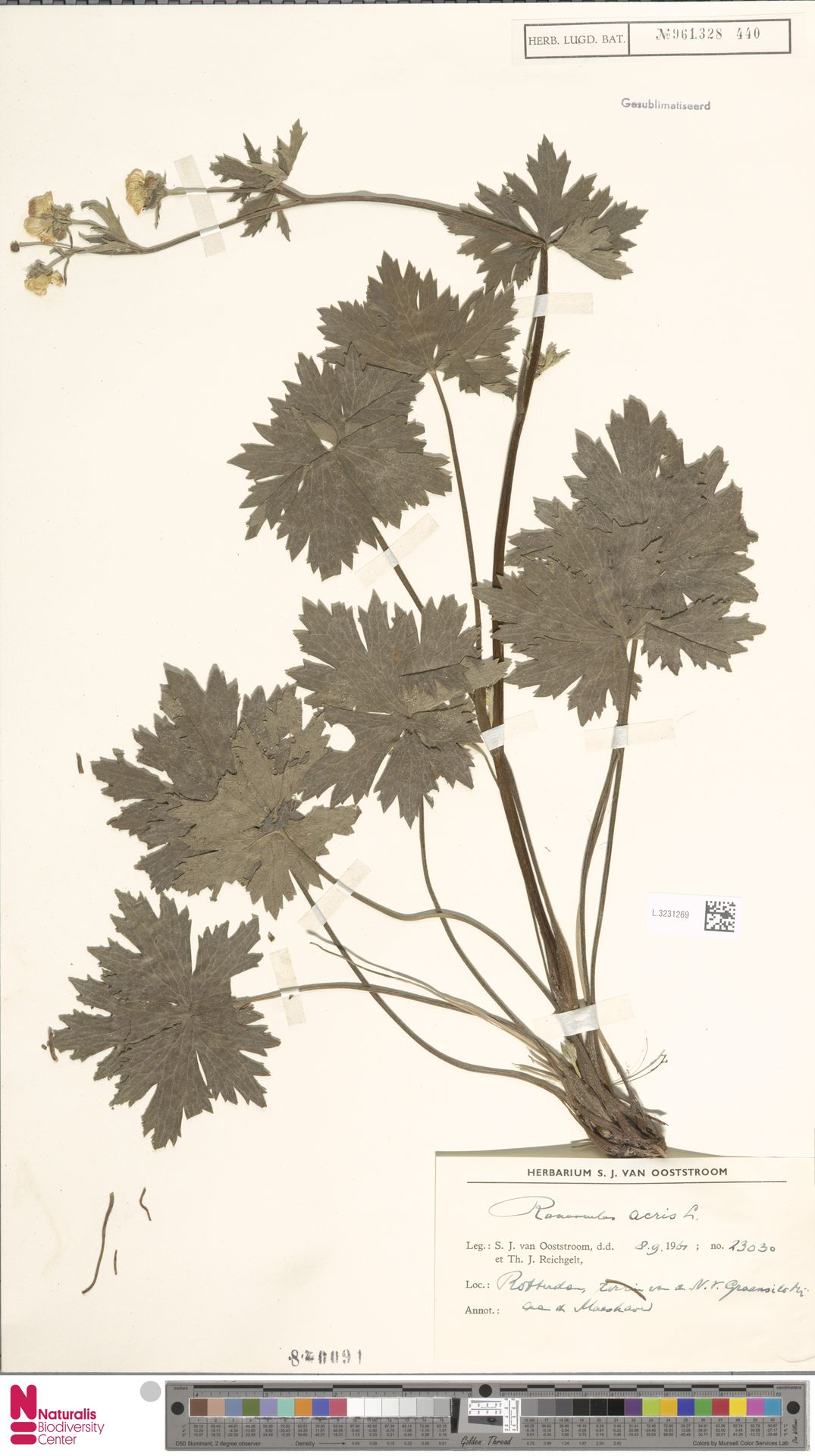 L.3231269   Ranunculus acris L.