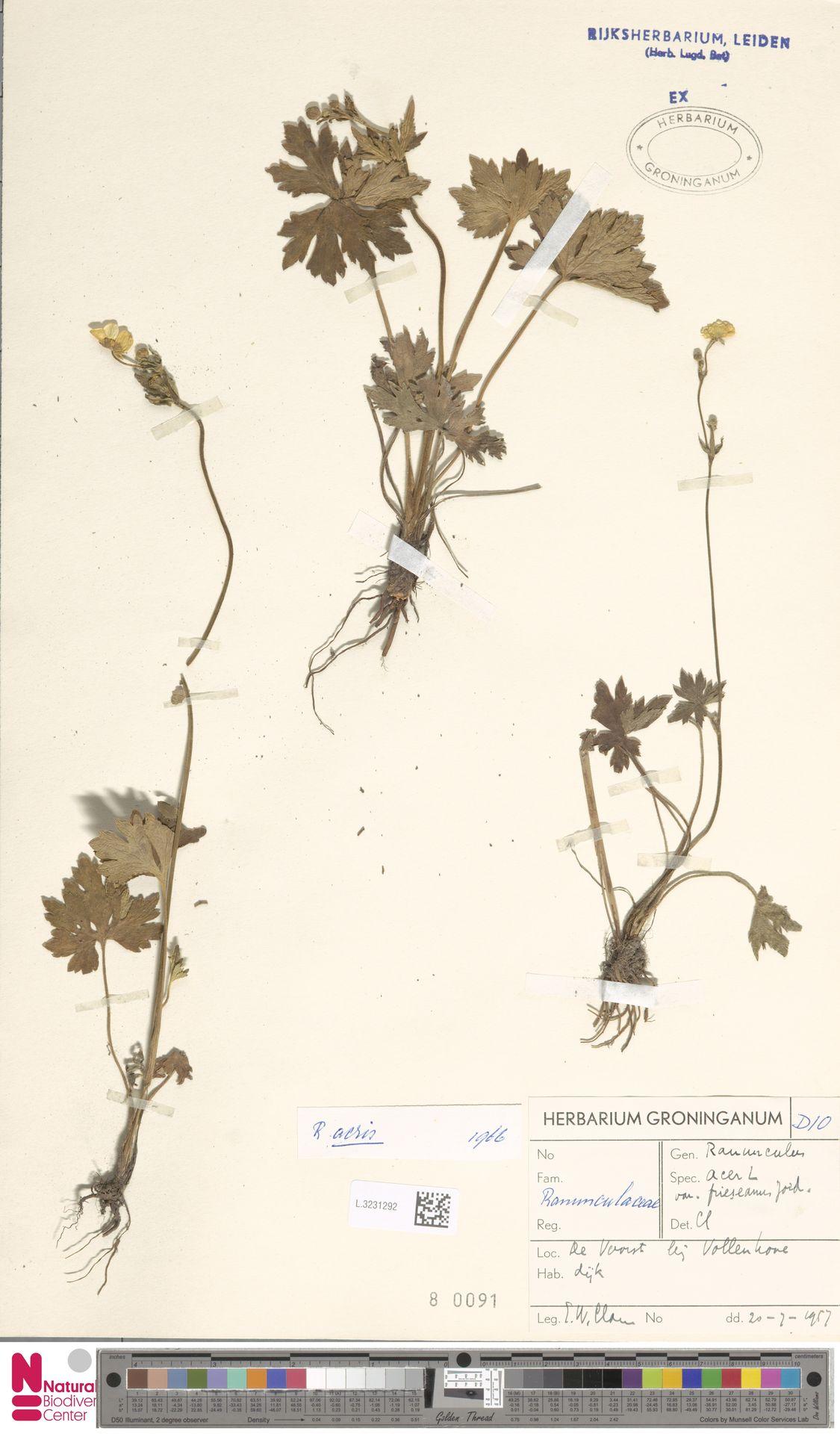 L.3231292   Ranunculus acris L.