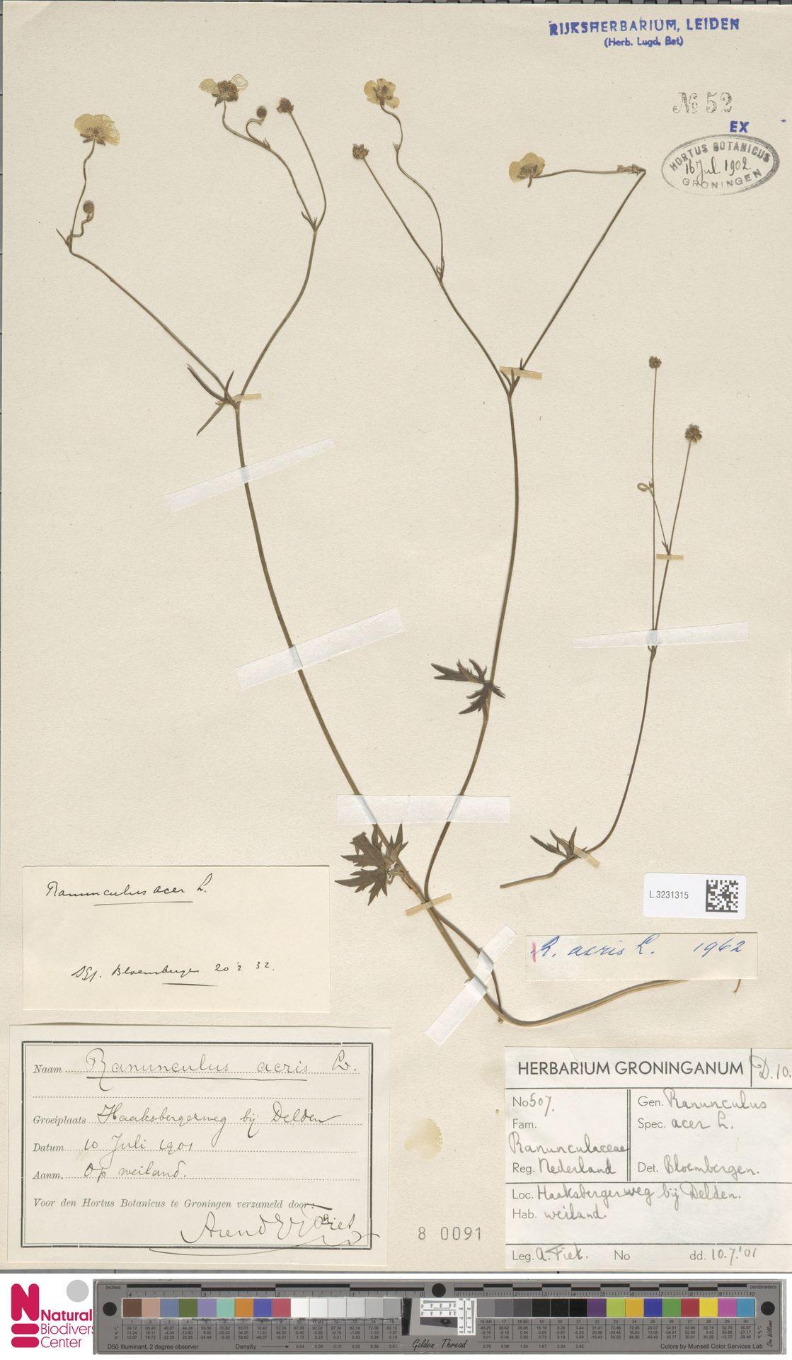 L.3231315 | Ranunculus acris L.