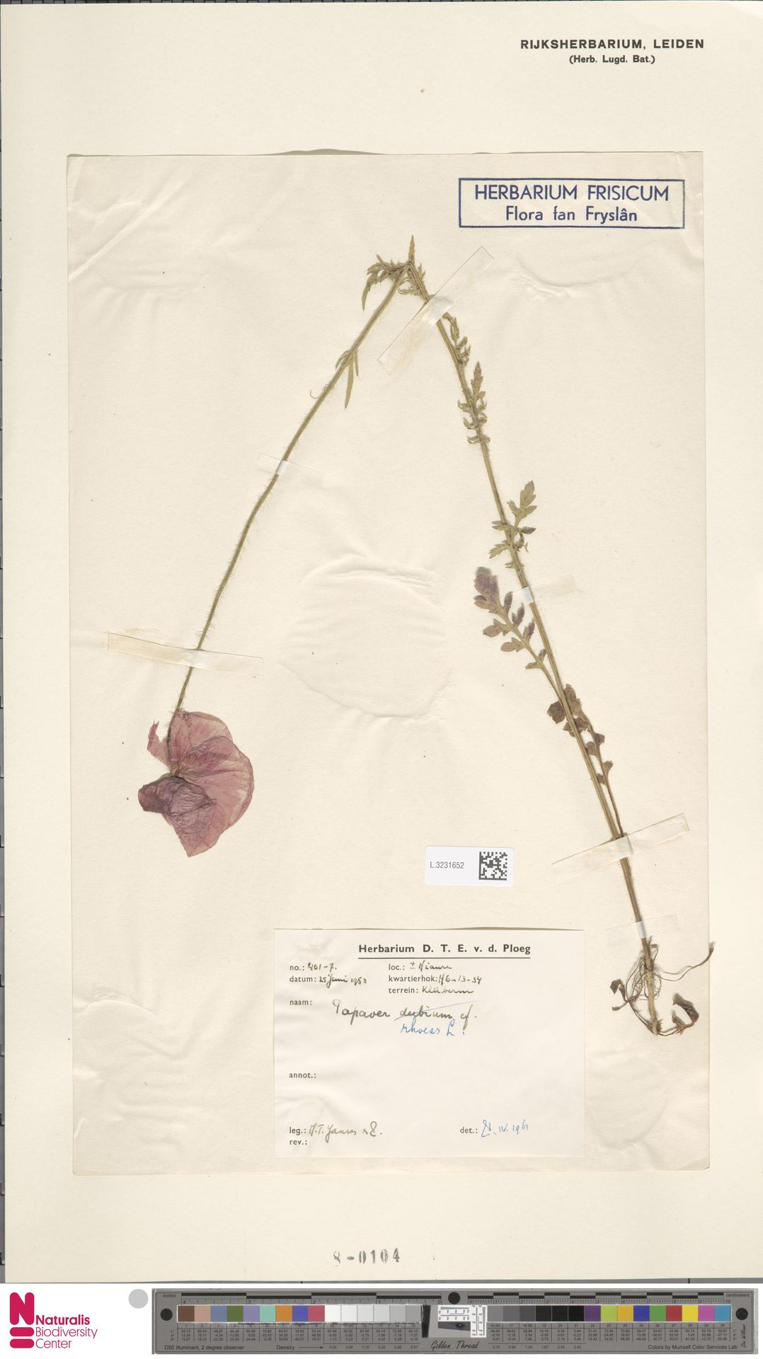 L.3231652 | Papaver rhoeas L.