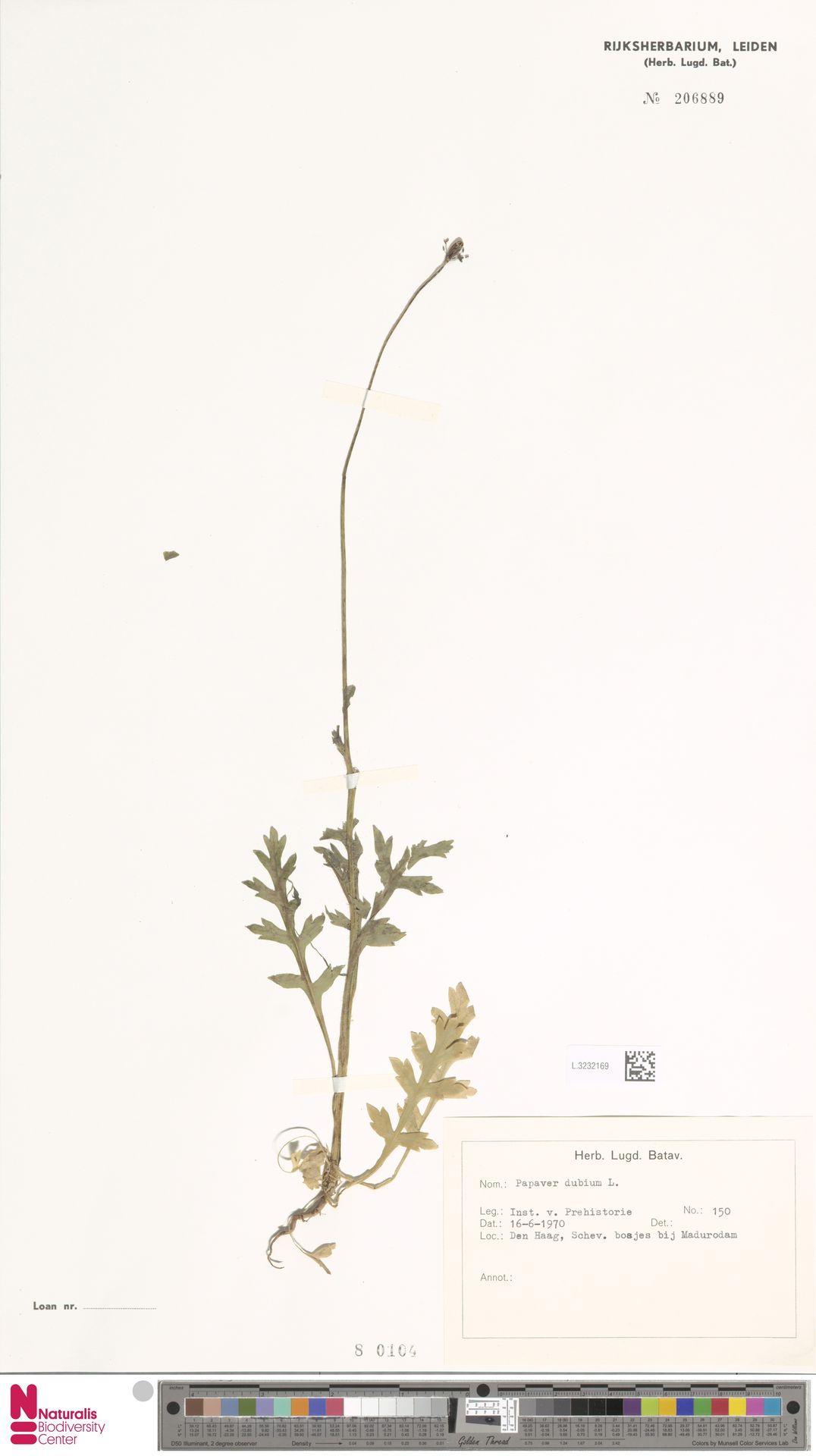 L.3232169 | Papaver dubium L.