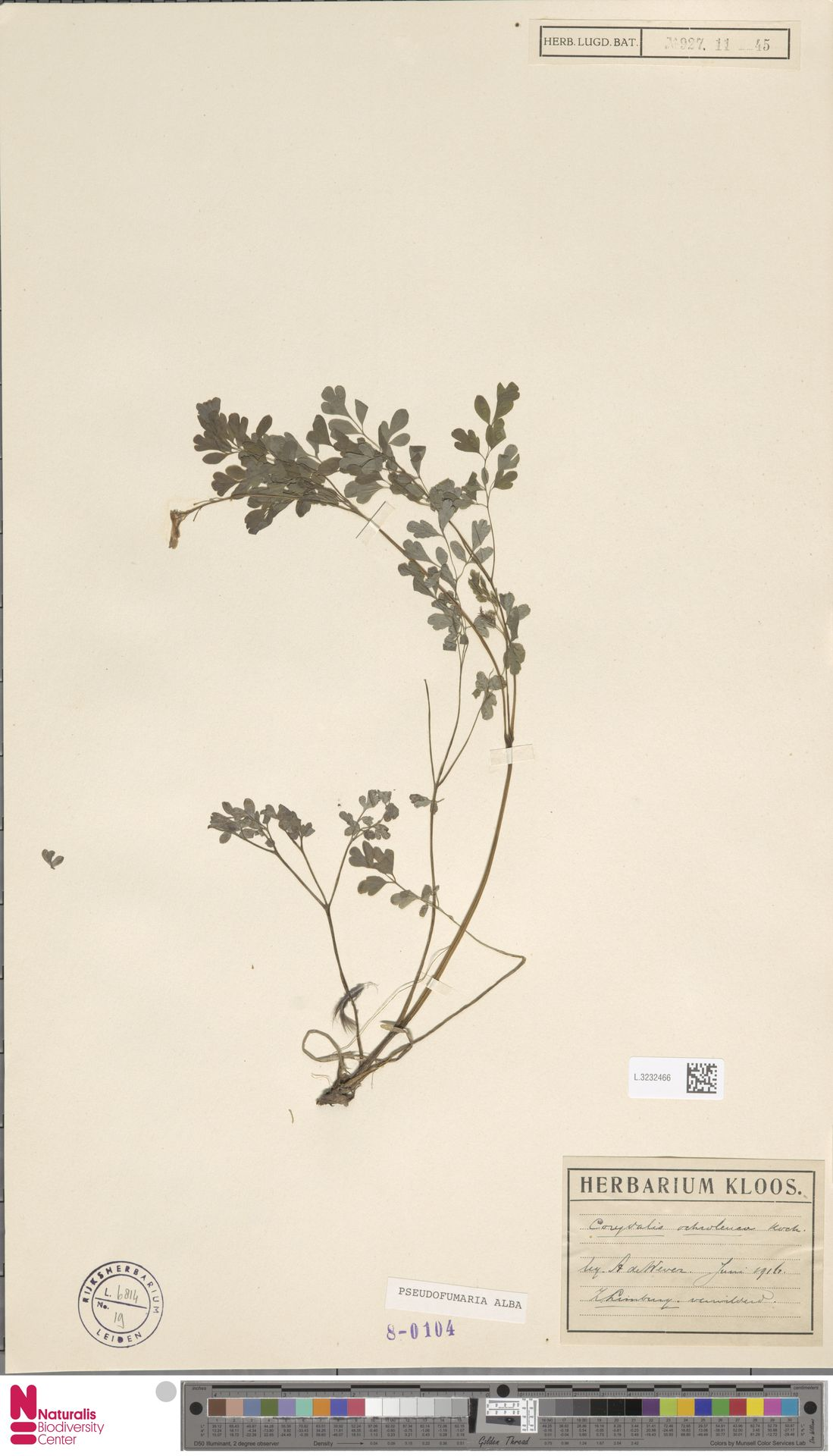 L.3232466   Pseudofumaria alba (Mill.) Lidén