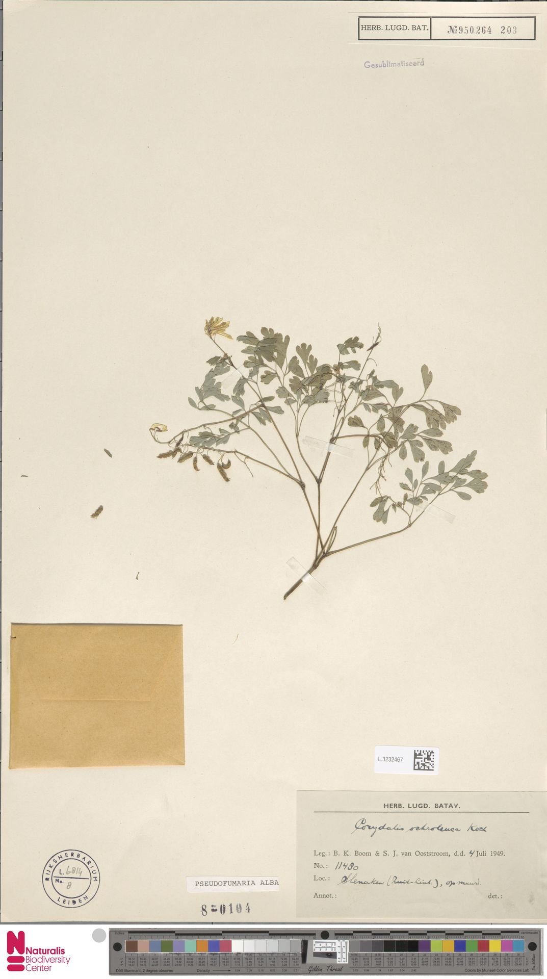 L.3232467 | Pseudofumaria alba (Mill.) Lidén