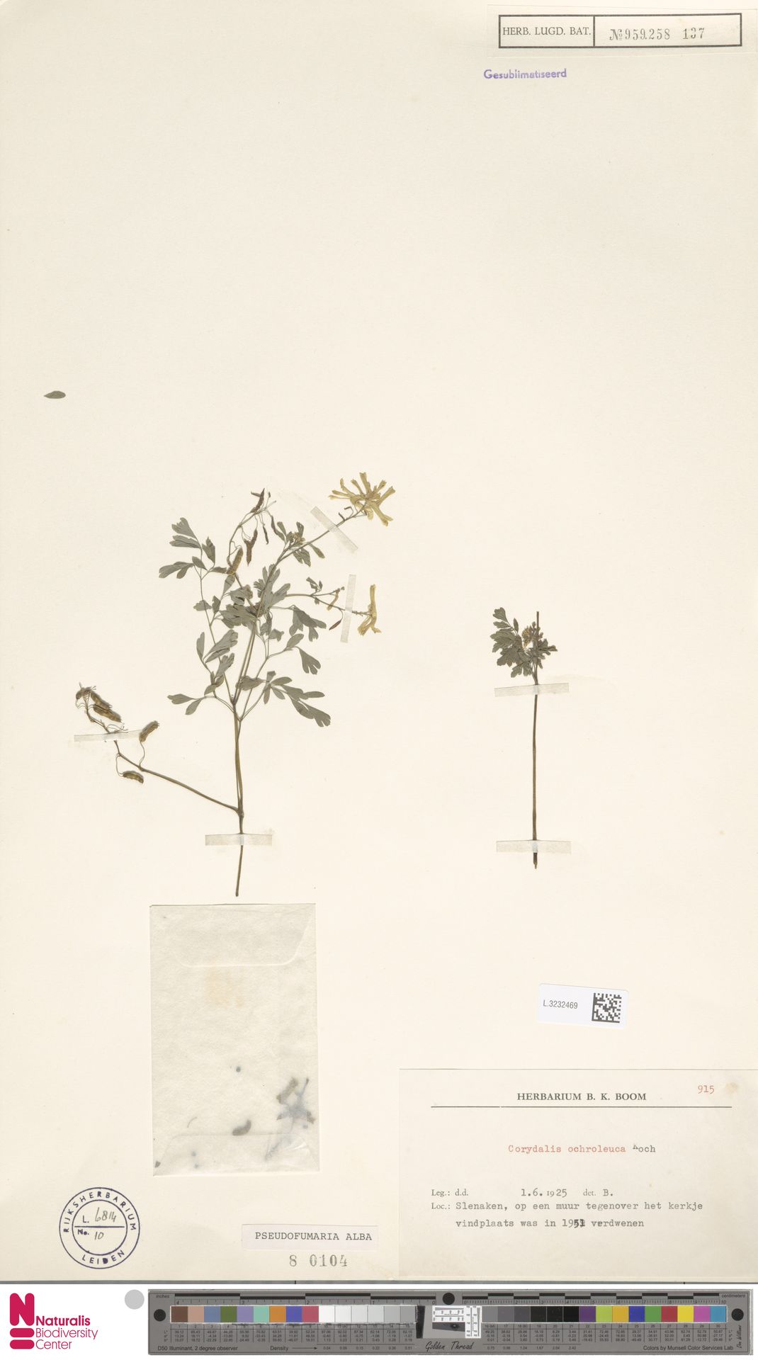L.3232469 | Pseudofumaria alba (Mill.) Lidén