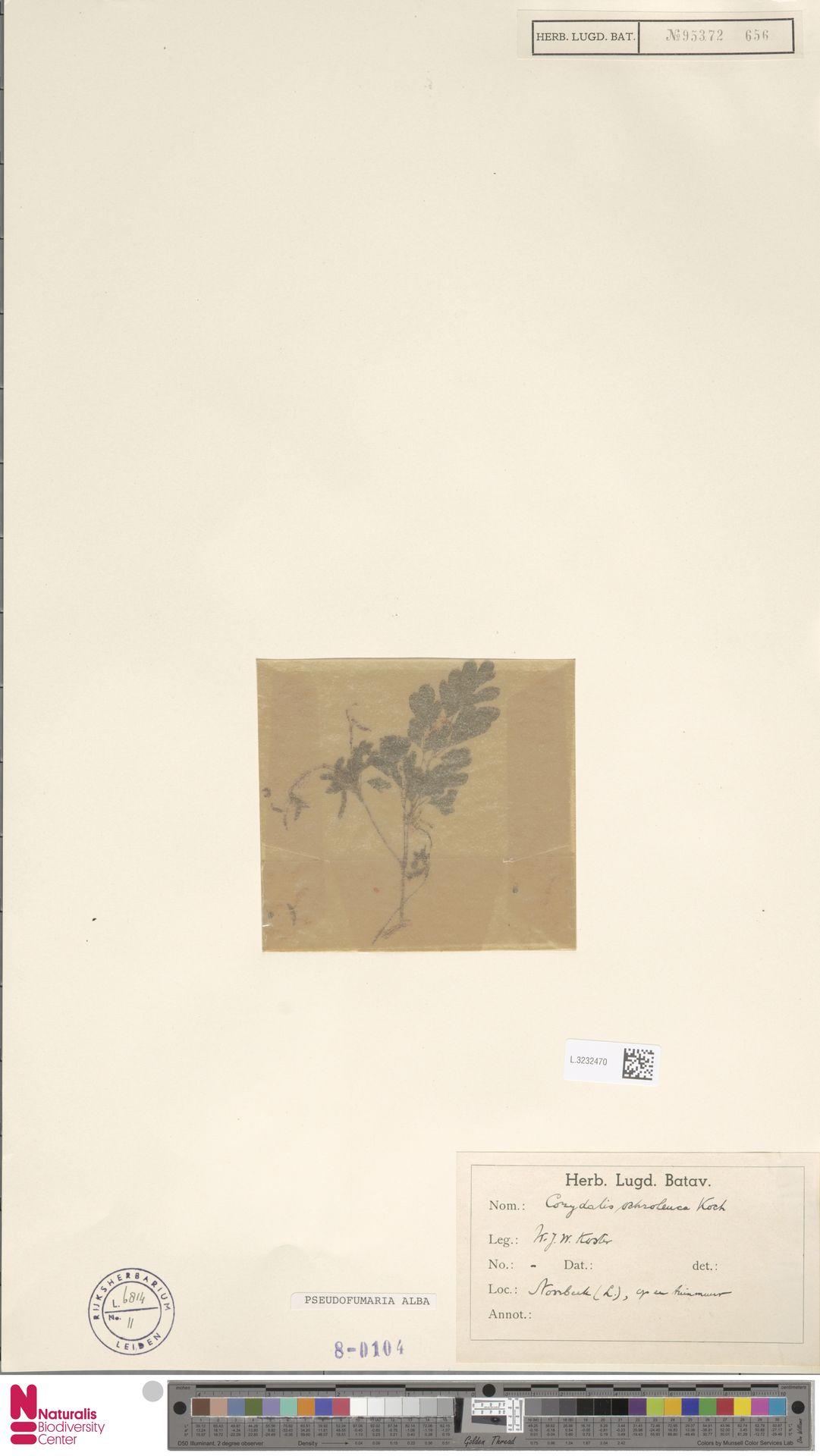 L.3232470 | Pseudofumaria alba (Mill.) Lidén